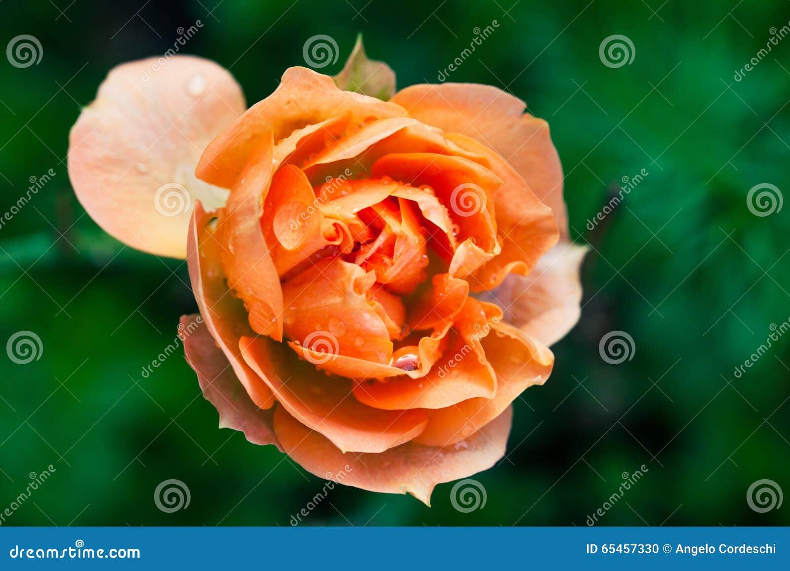 Wet rose flower macro photography. Orange pink colors