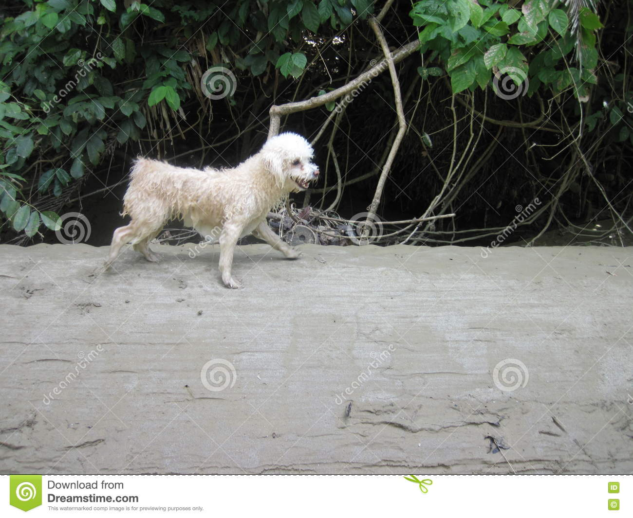 Wet Running Poodle