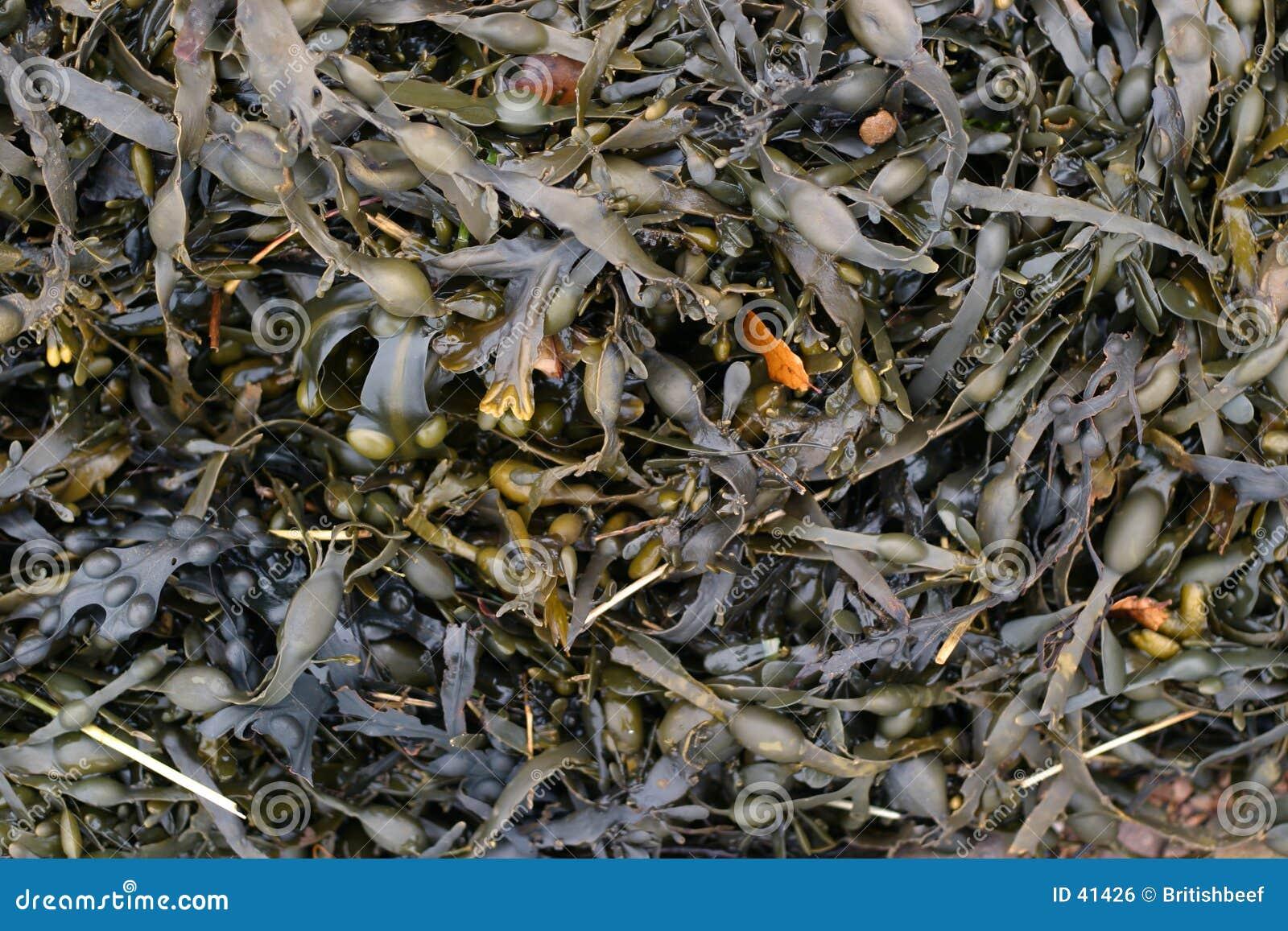 Wet seaweed