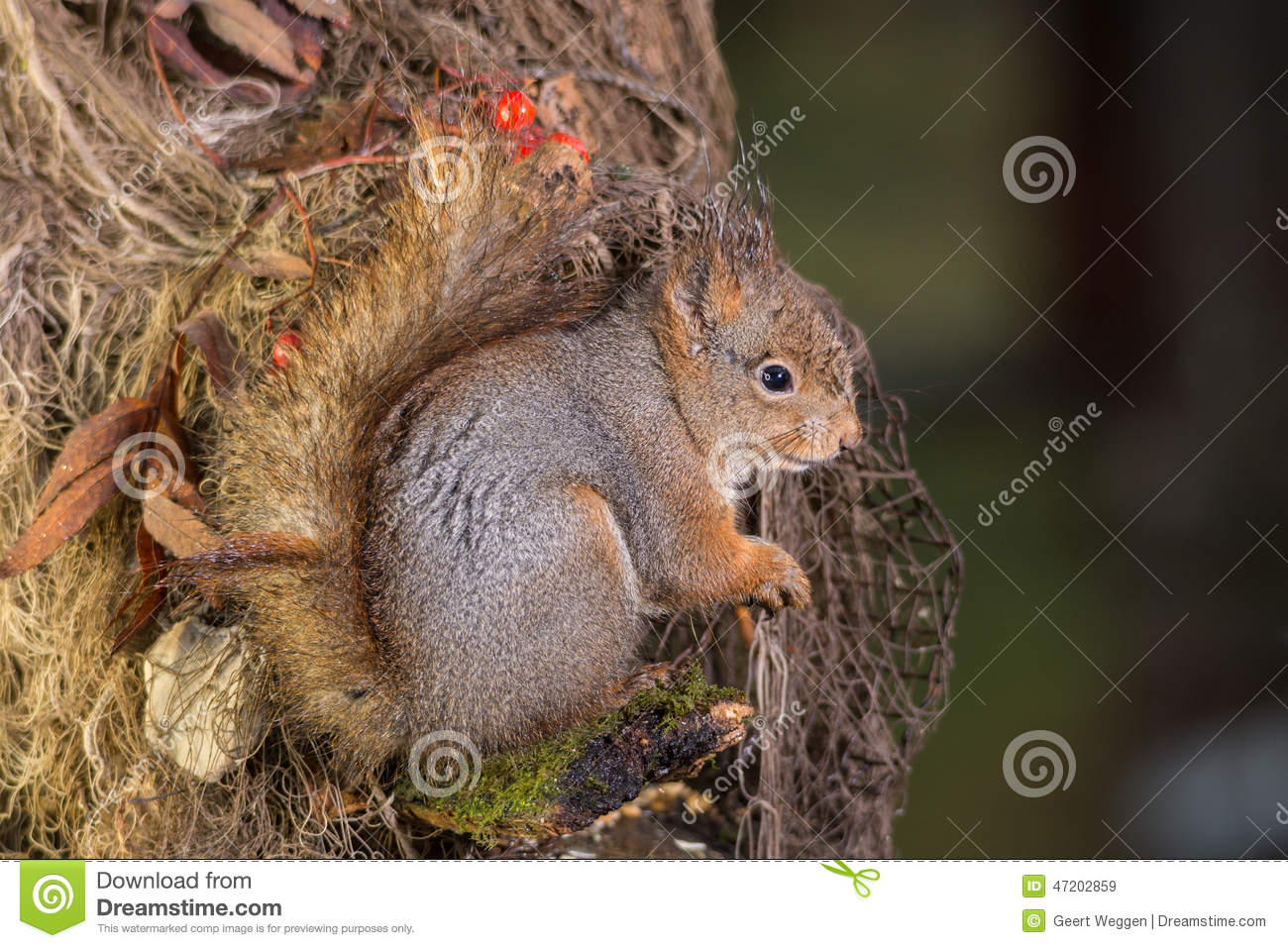 Wet squirrel stock photo image 47202859 for Is a fish wet