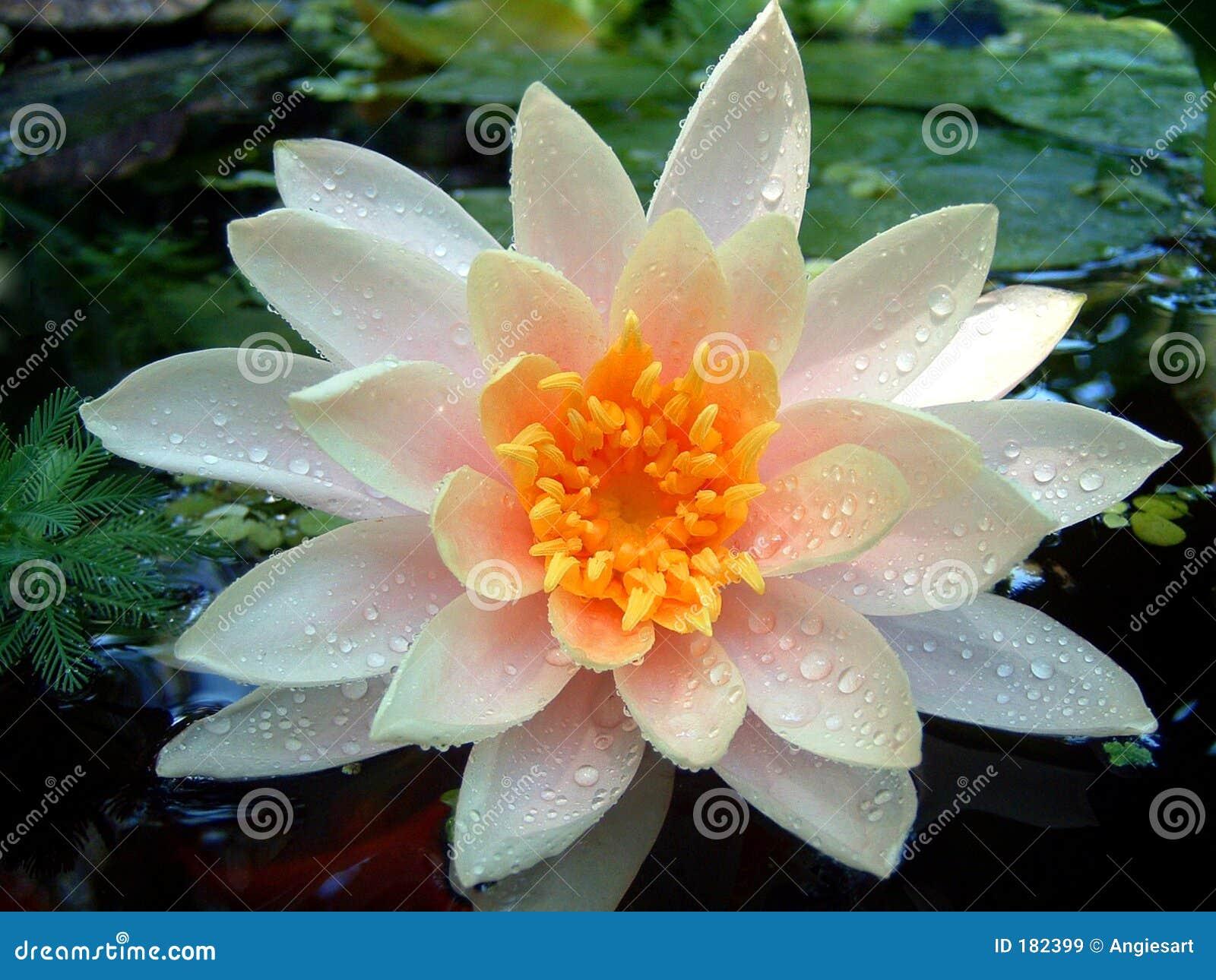Wet Waterlily
