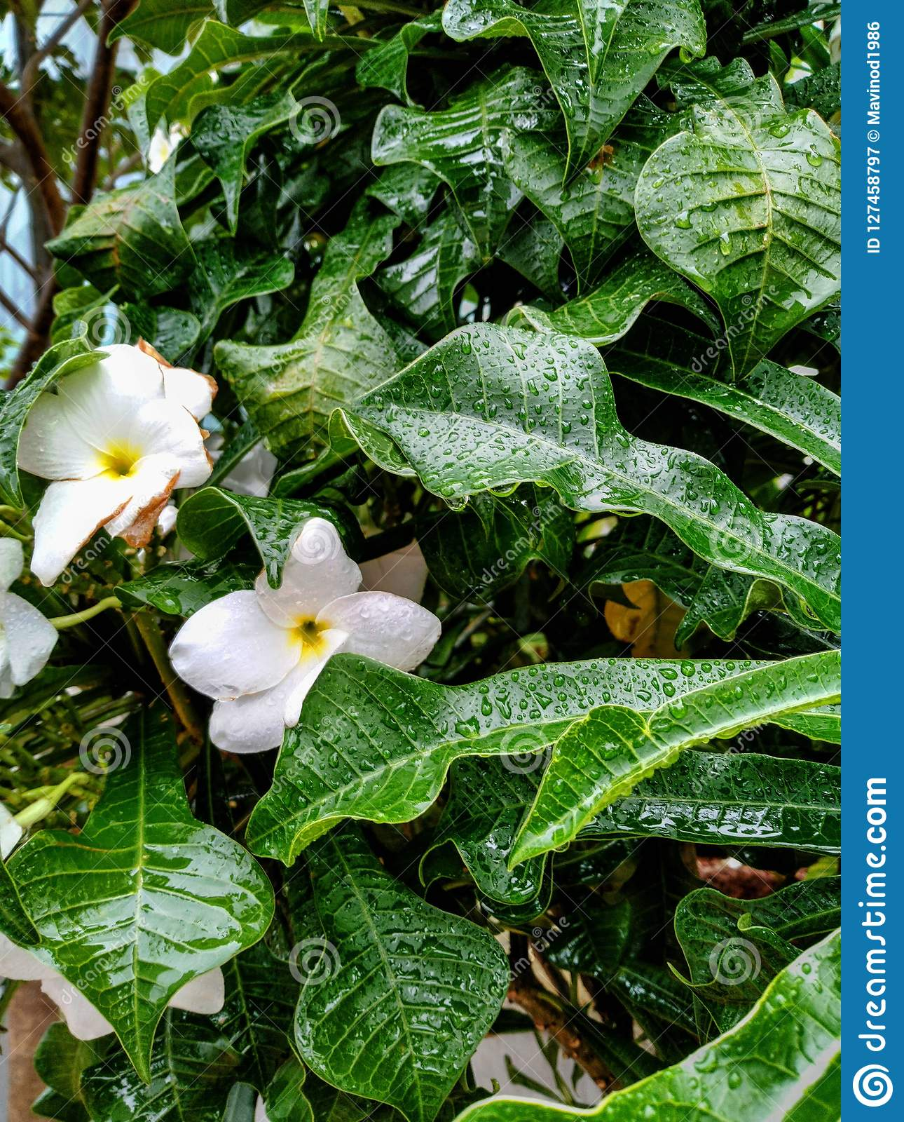 Wet white flower and leafs in rainy season which captured in the garden