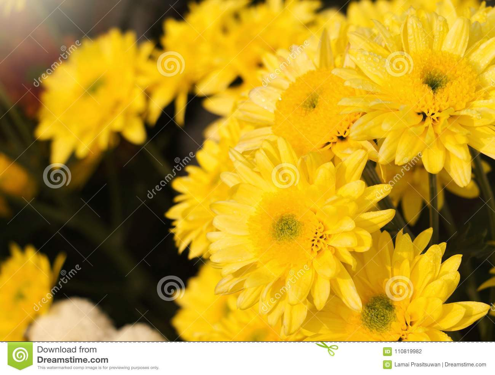 Yellow Chrysanthemum Flowers In Garden Stock Photo Image Of Petal
