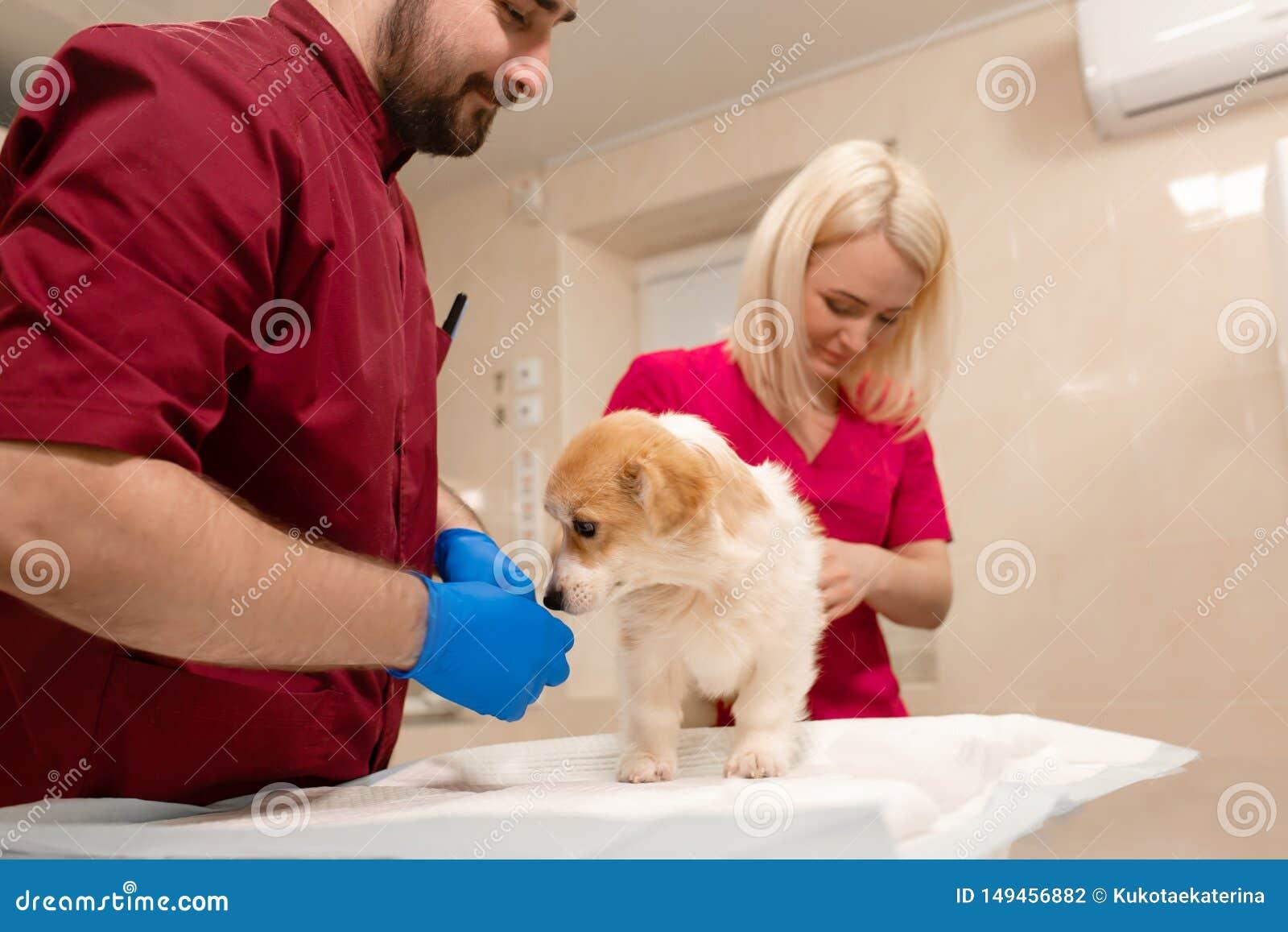 Weterynaryjnego lekarka egzaminu corgi ma?y pies w manipulacja pokoju zwierz? domowe klinika Zwierz? domowe opieka zdrowotna