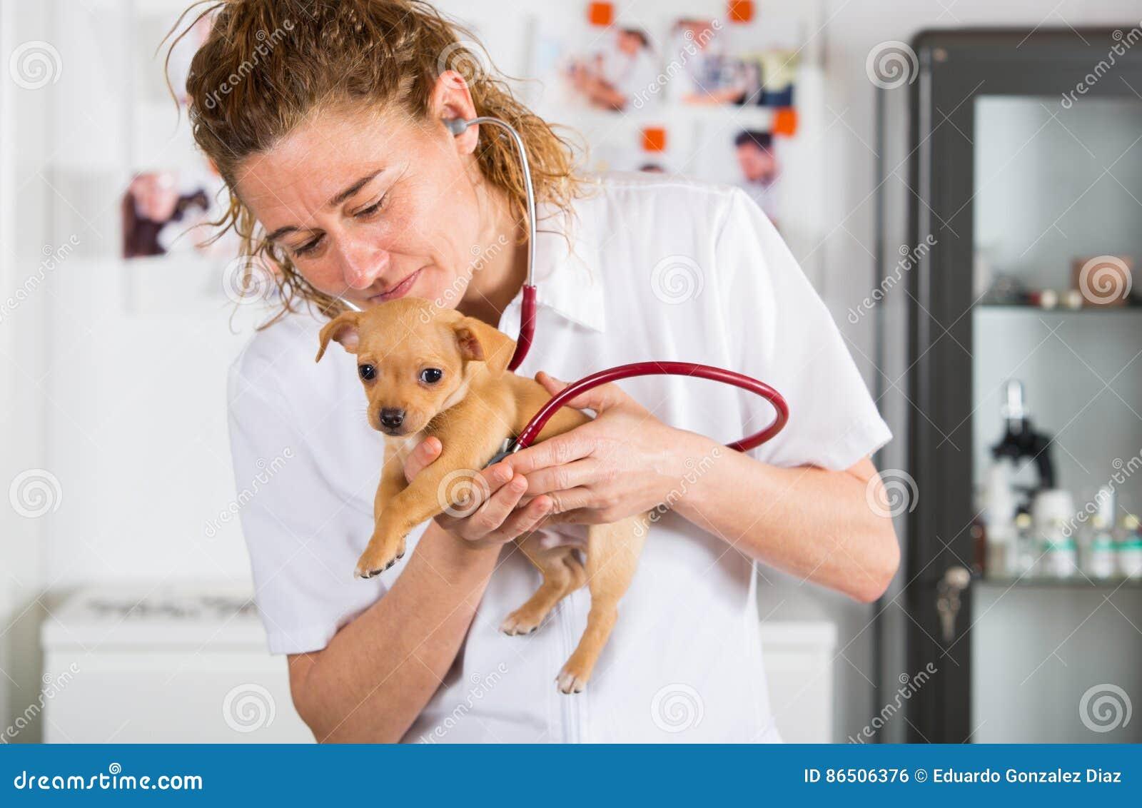 Weterynaryjny z chihuahua szczeniakiem