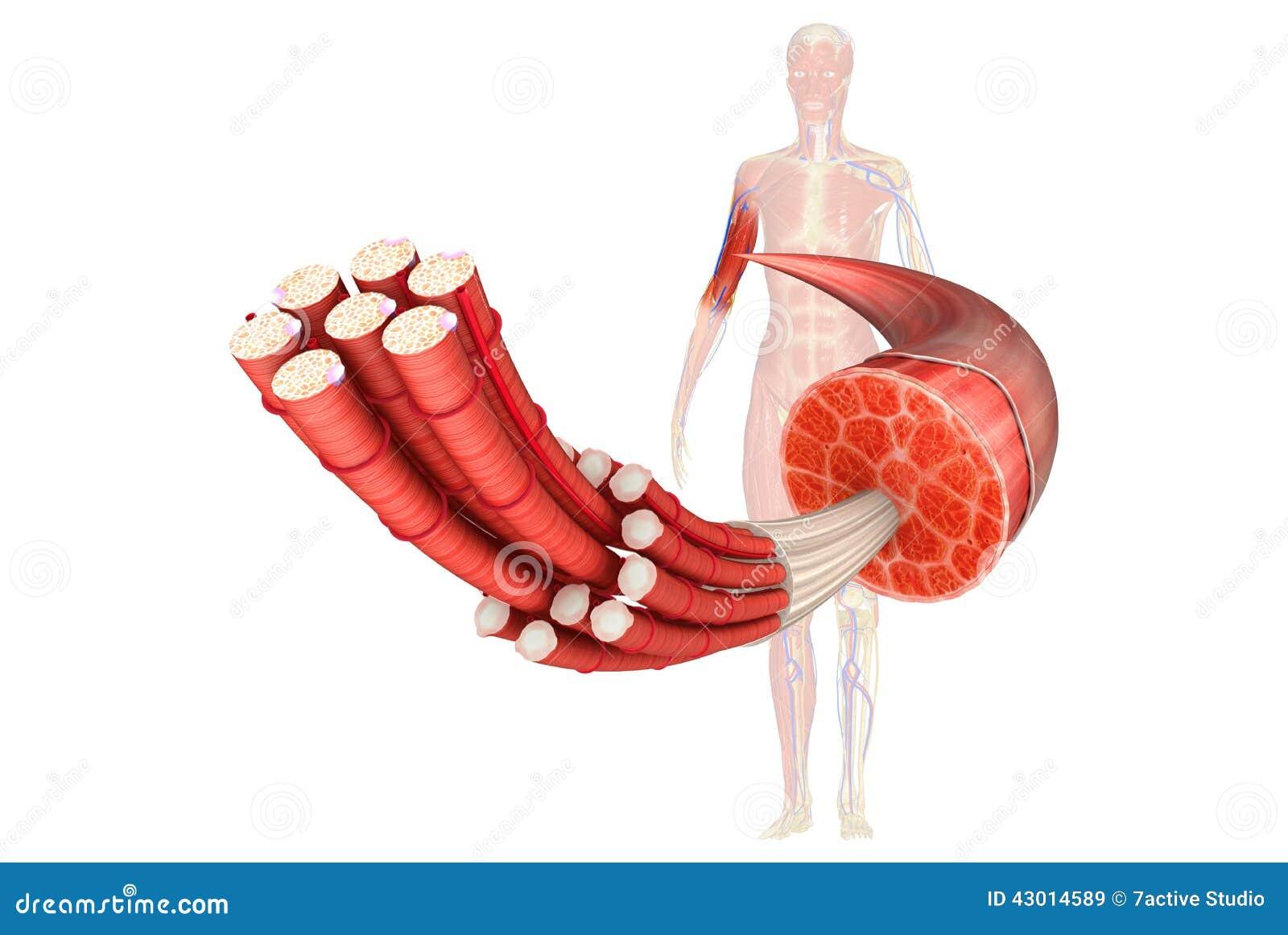 Wewnętrzne części mięsień tkanka