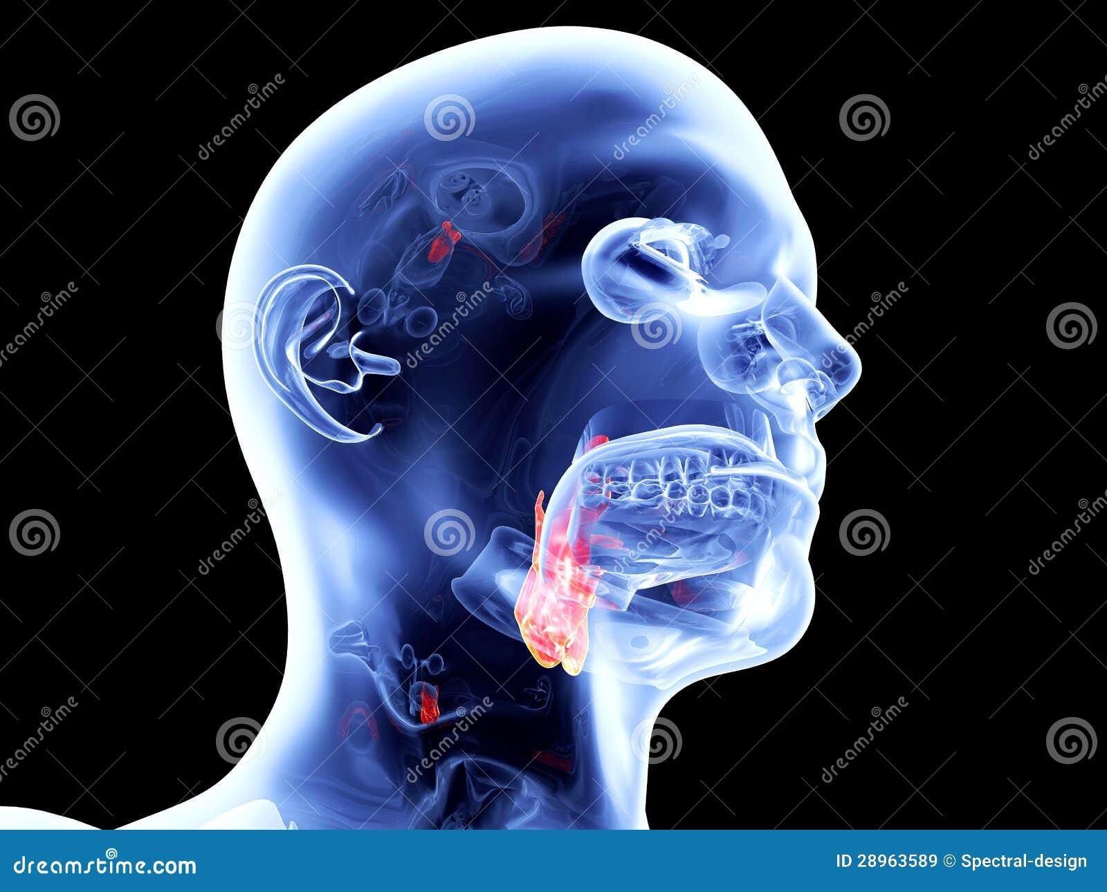Wewnętrzni organy - krtań