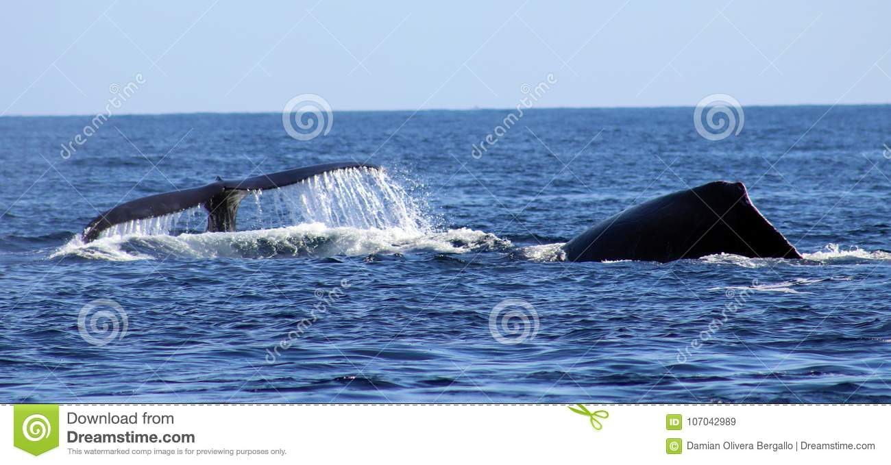Whale at Los Cabos Mexico excellent view of family of whales at pacific ocean