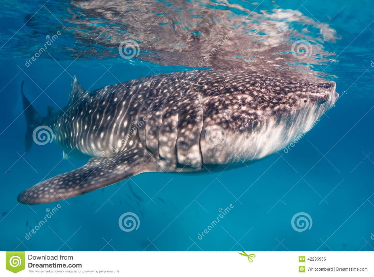 Whale shark in clear water