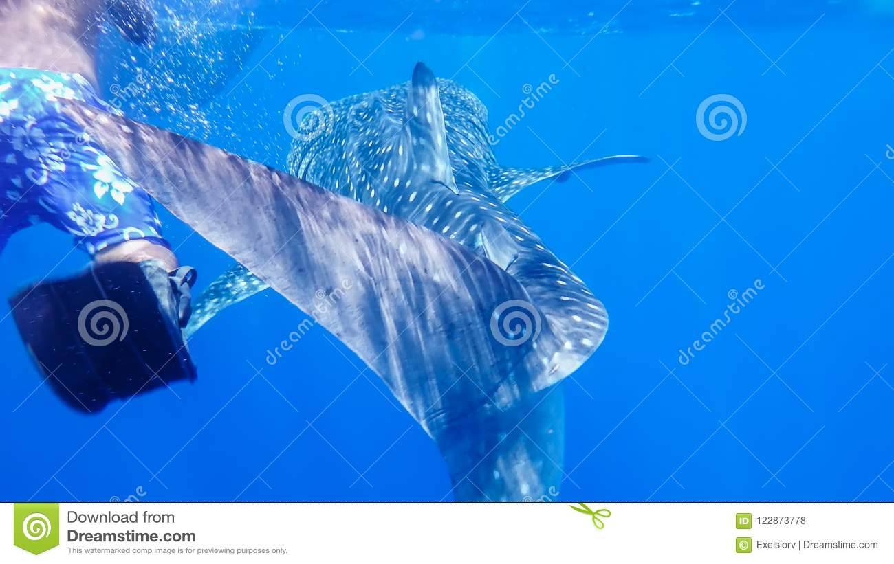 Whale shark near the snorkel near the surface in the open sea, against the background of sea water, the Red Sea, Ras