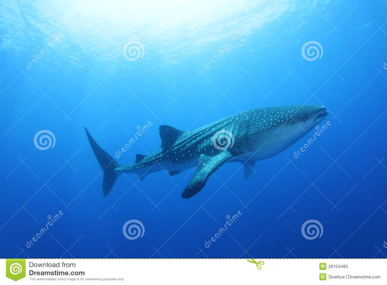 Whale Shark in the Red Sea