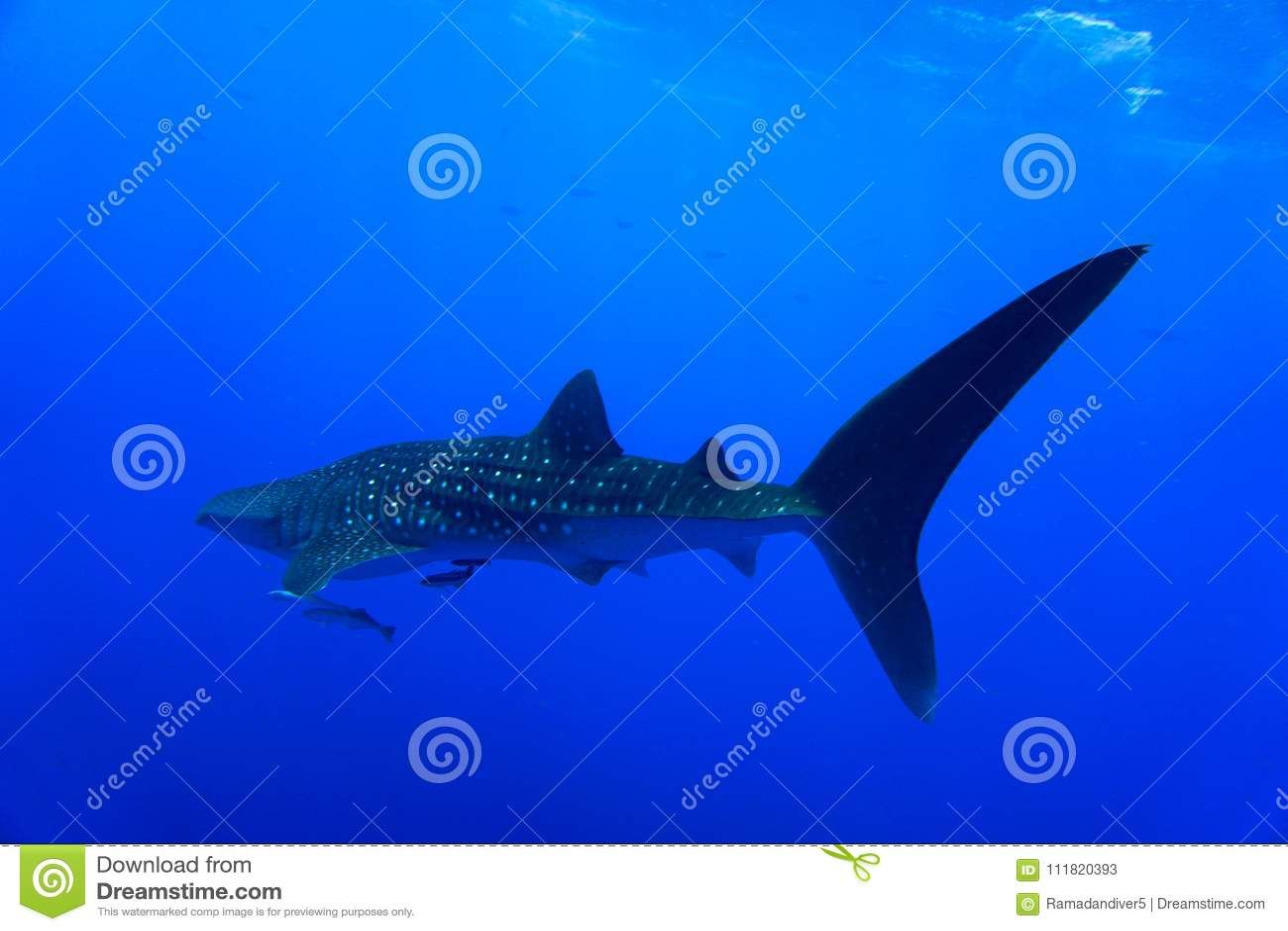 Whale Shark Red Sea
