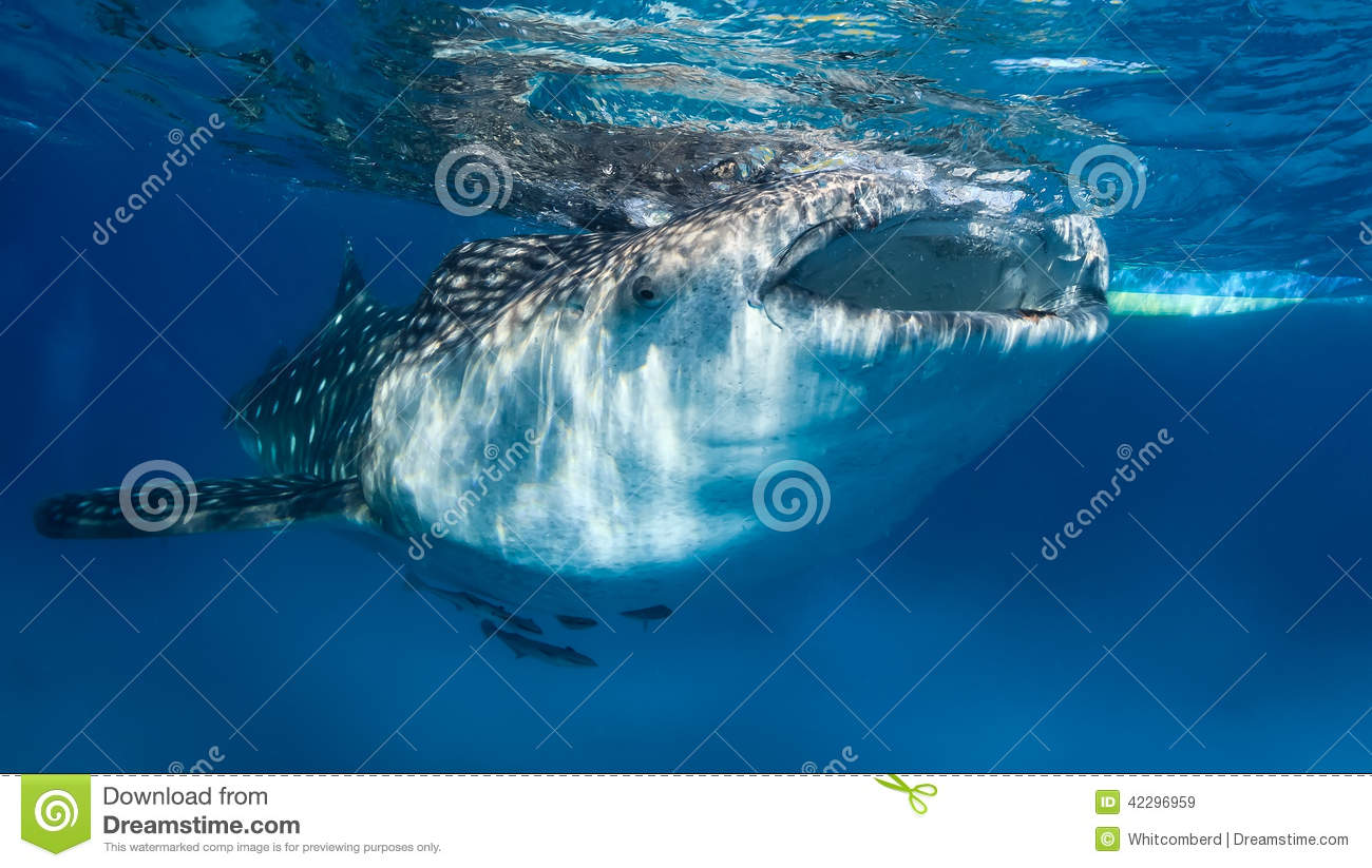 Download Whale shark at the surface stock image. Image of holiday - 42296959