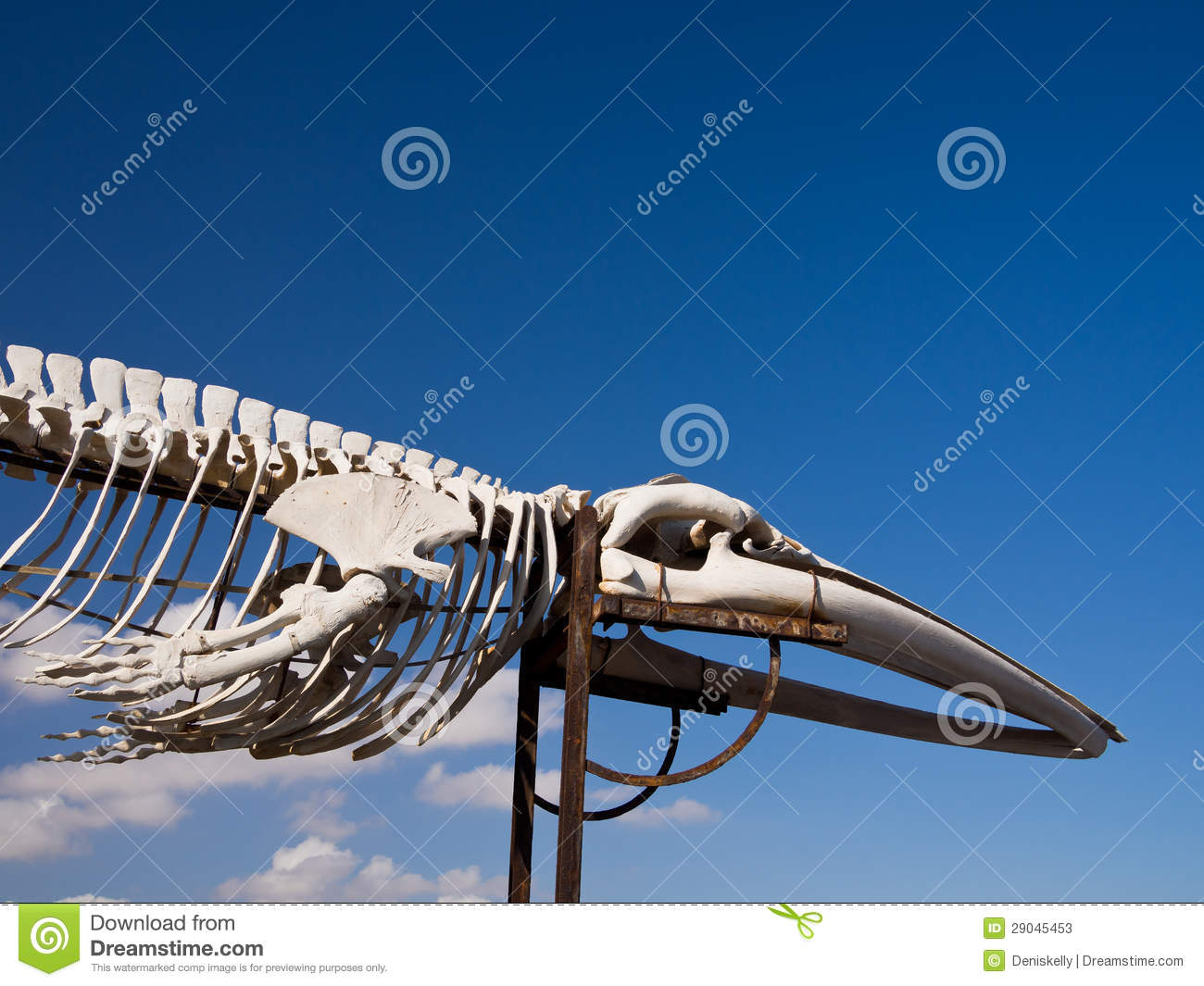 Fin whale skeleton - photo#42
