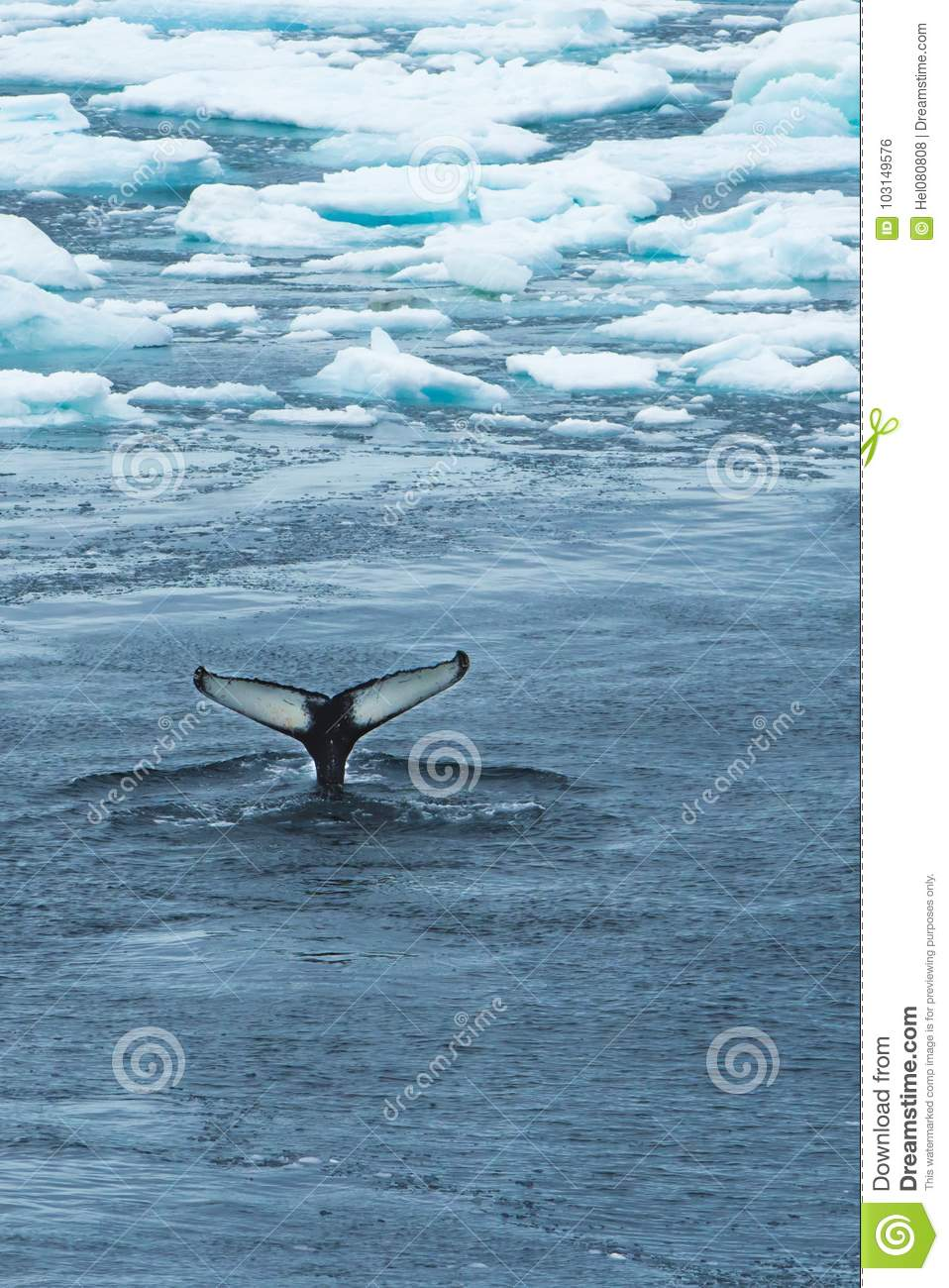 Whale Tail between Ice - Wallpaper