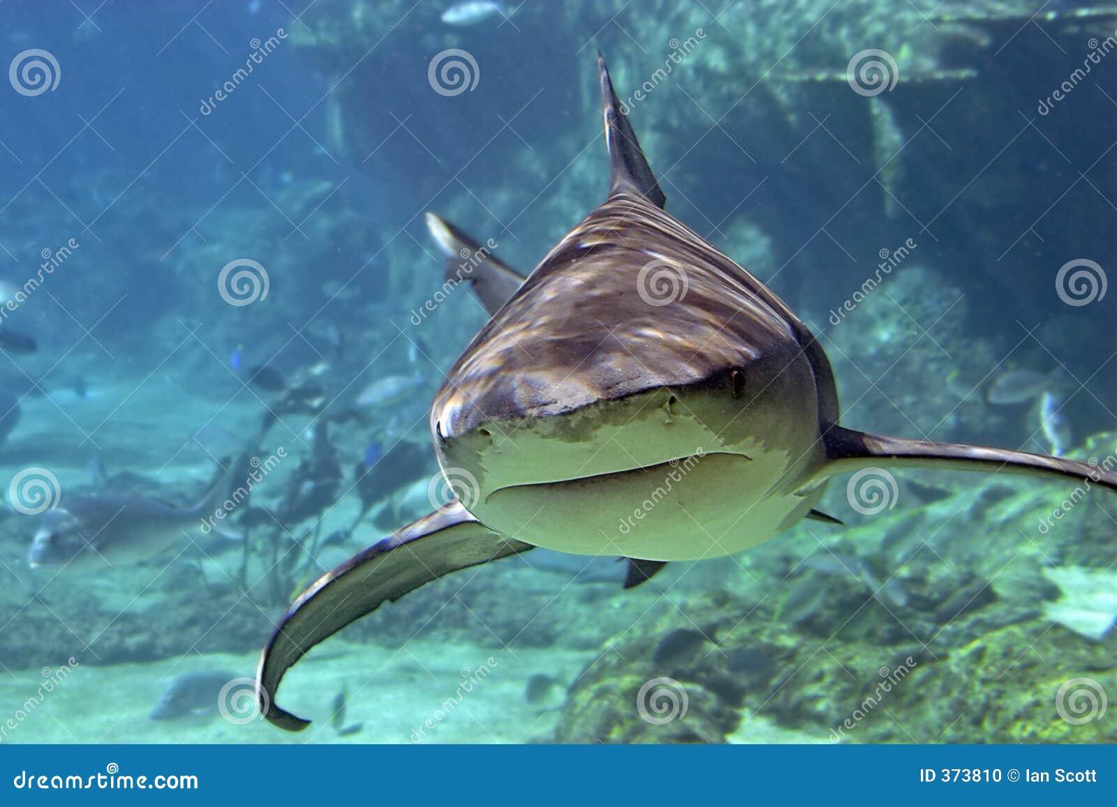 Whaler-Tiburón