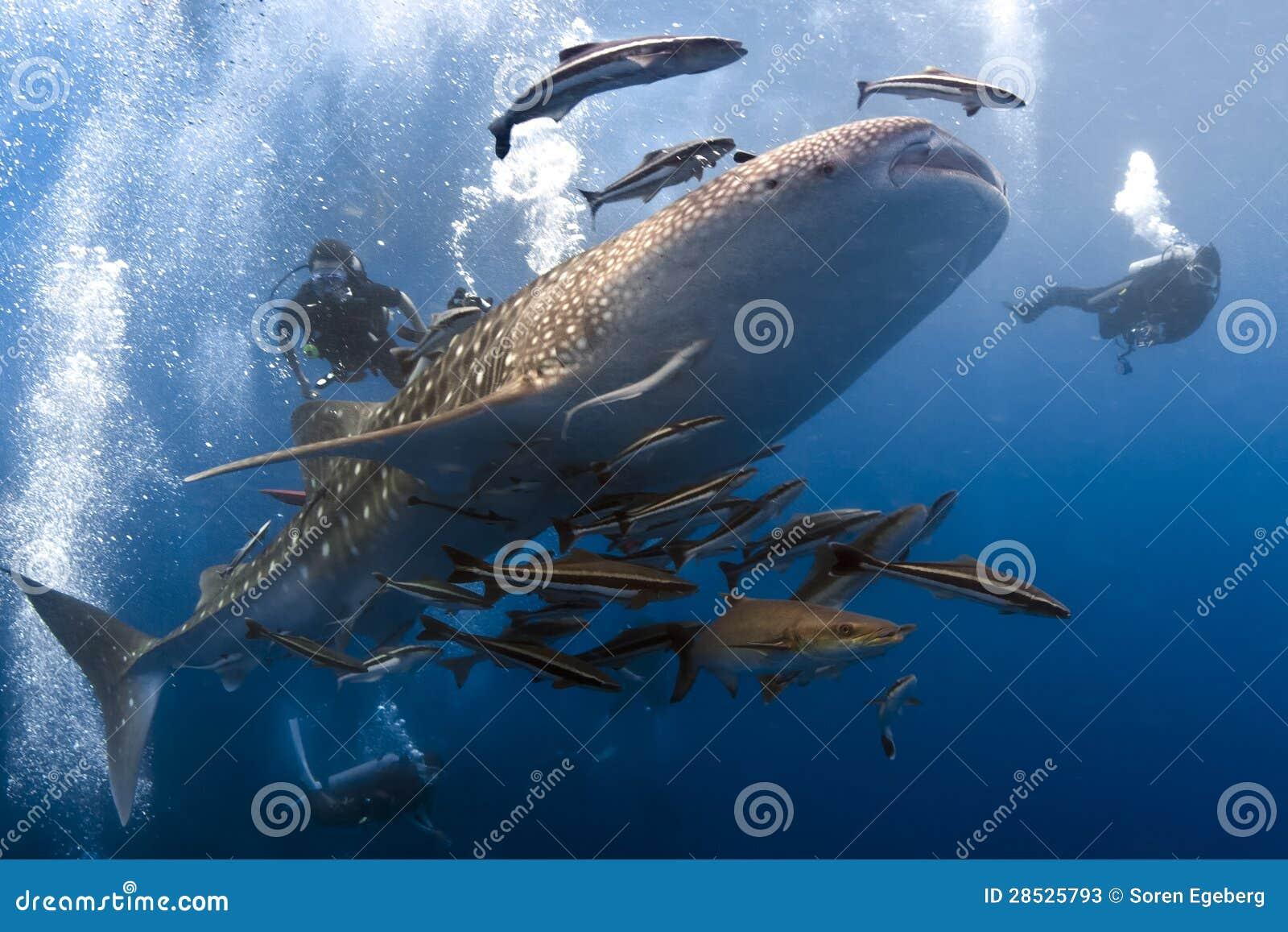 Whaleshark und scubadivers