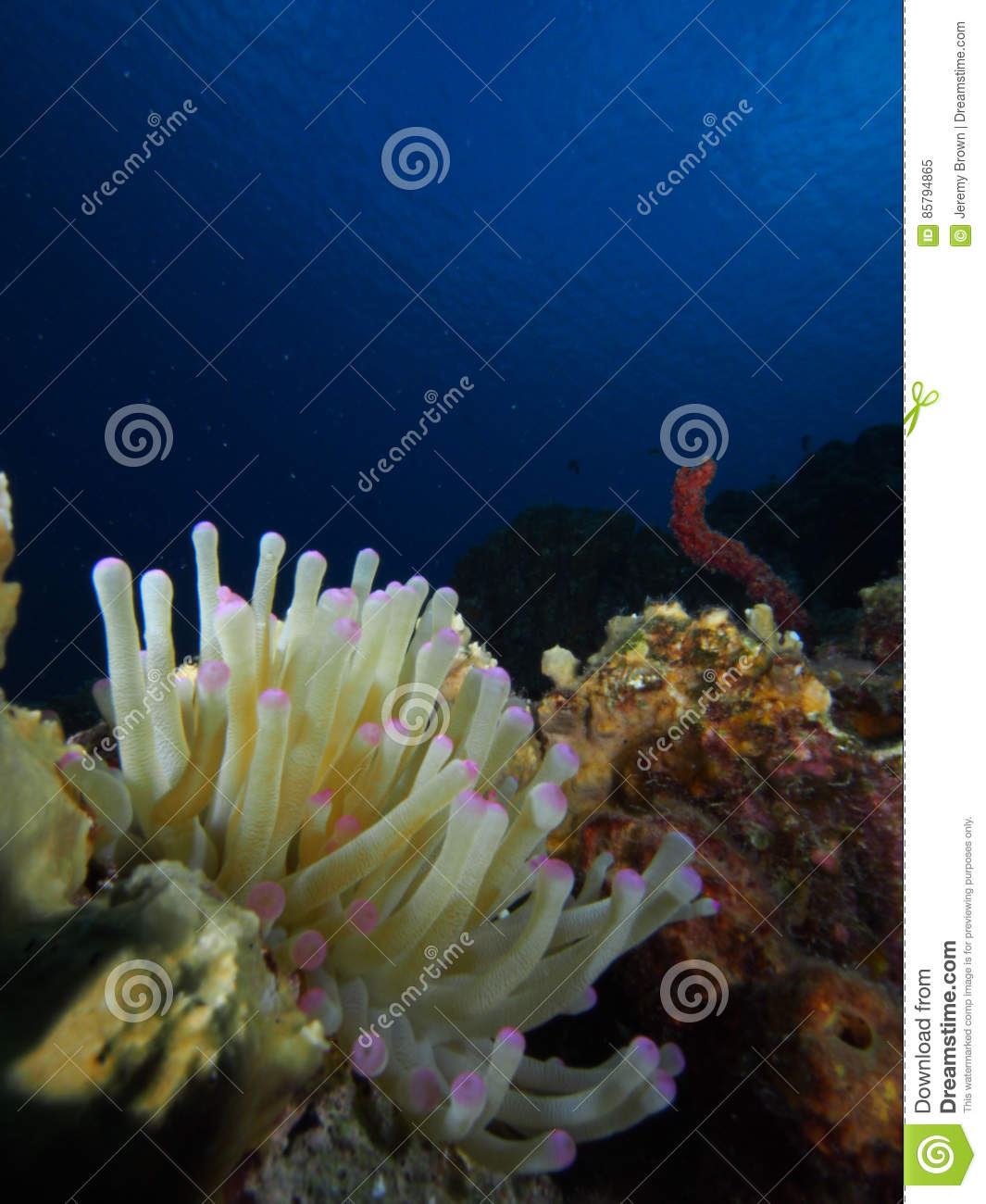 Download What A Giant Caribbean Sea Anemone Should Look Like Bonaire Degradation Antilles