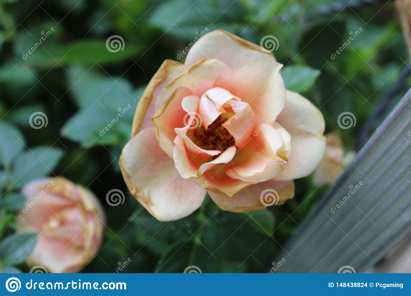 Whealting light pink rose