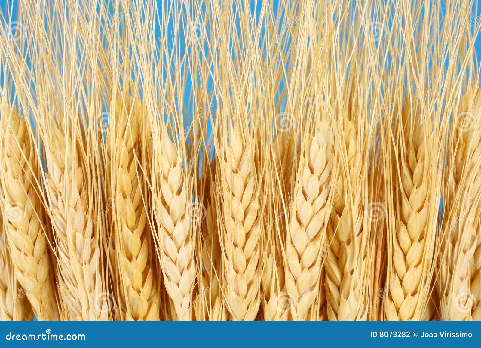 Wheat crop agriculture & farming concept