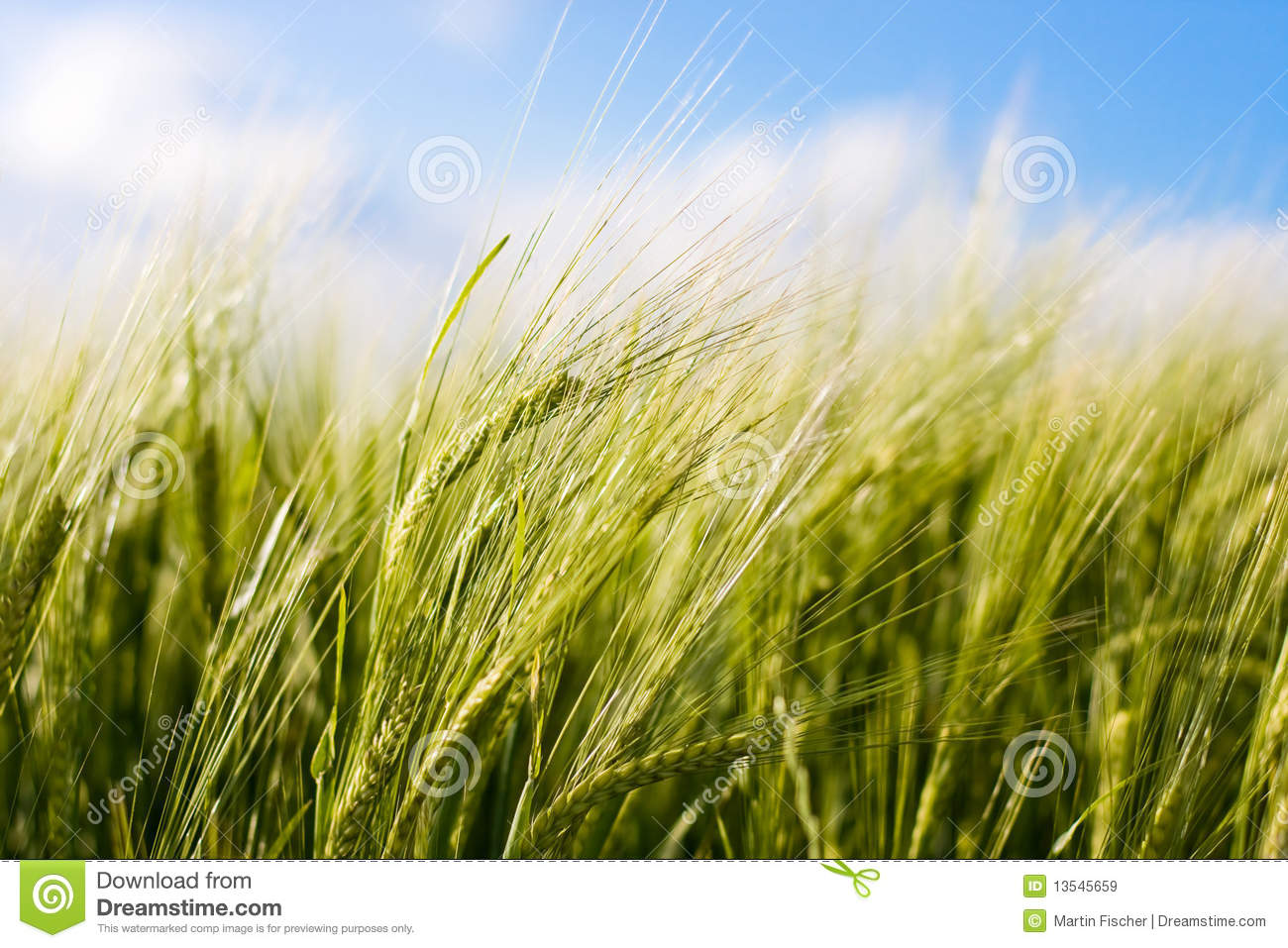 Wheat Crop Blowing In The Wind Royalty Free Stock Images ...