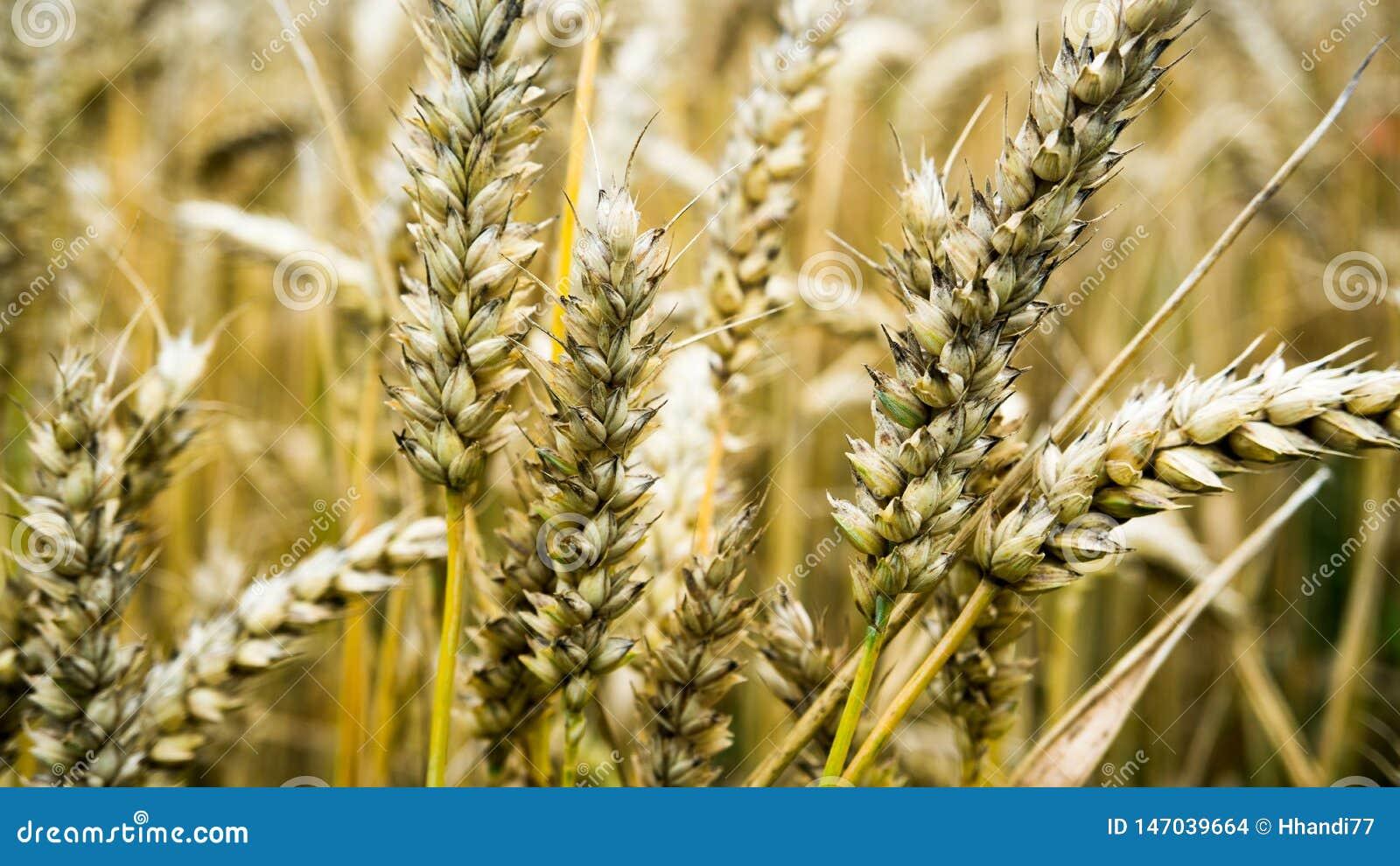 Closeup of a wheat ear on farmland