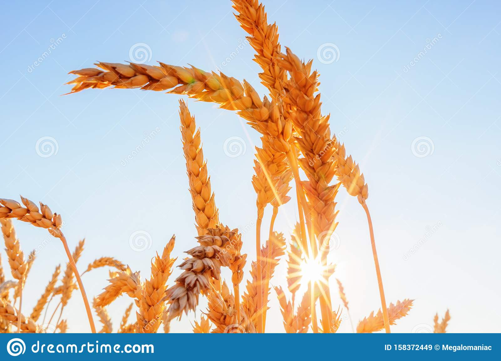 Wheat Ears And Clear Sky With Sun Stock Image Image Of Grain