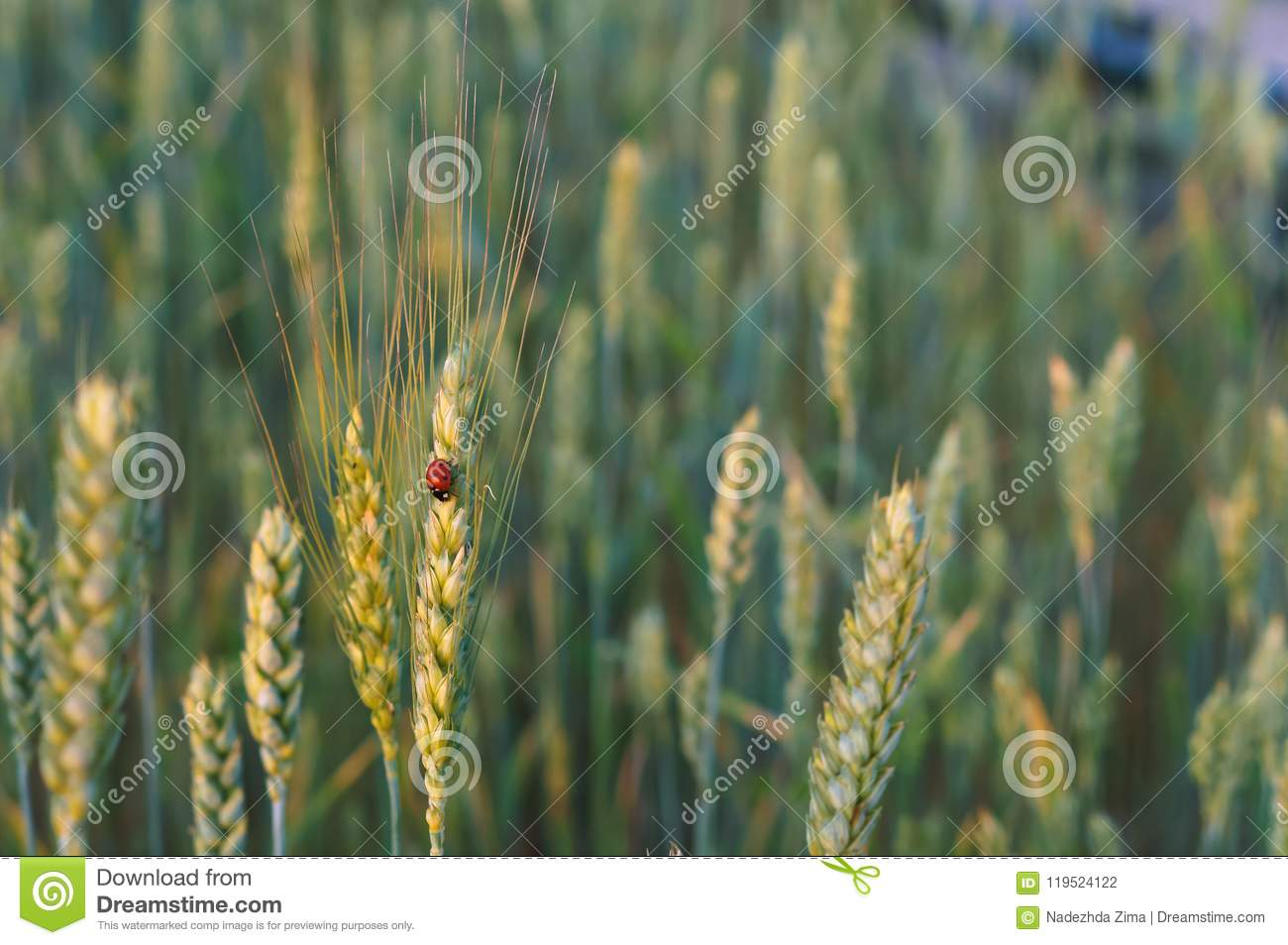 Wheat Ears In The Field Wheat Ears In The Sun Stock Photo Image