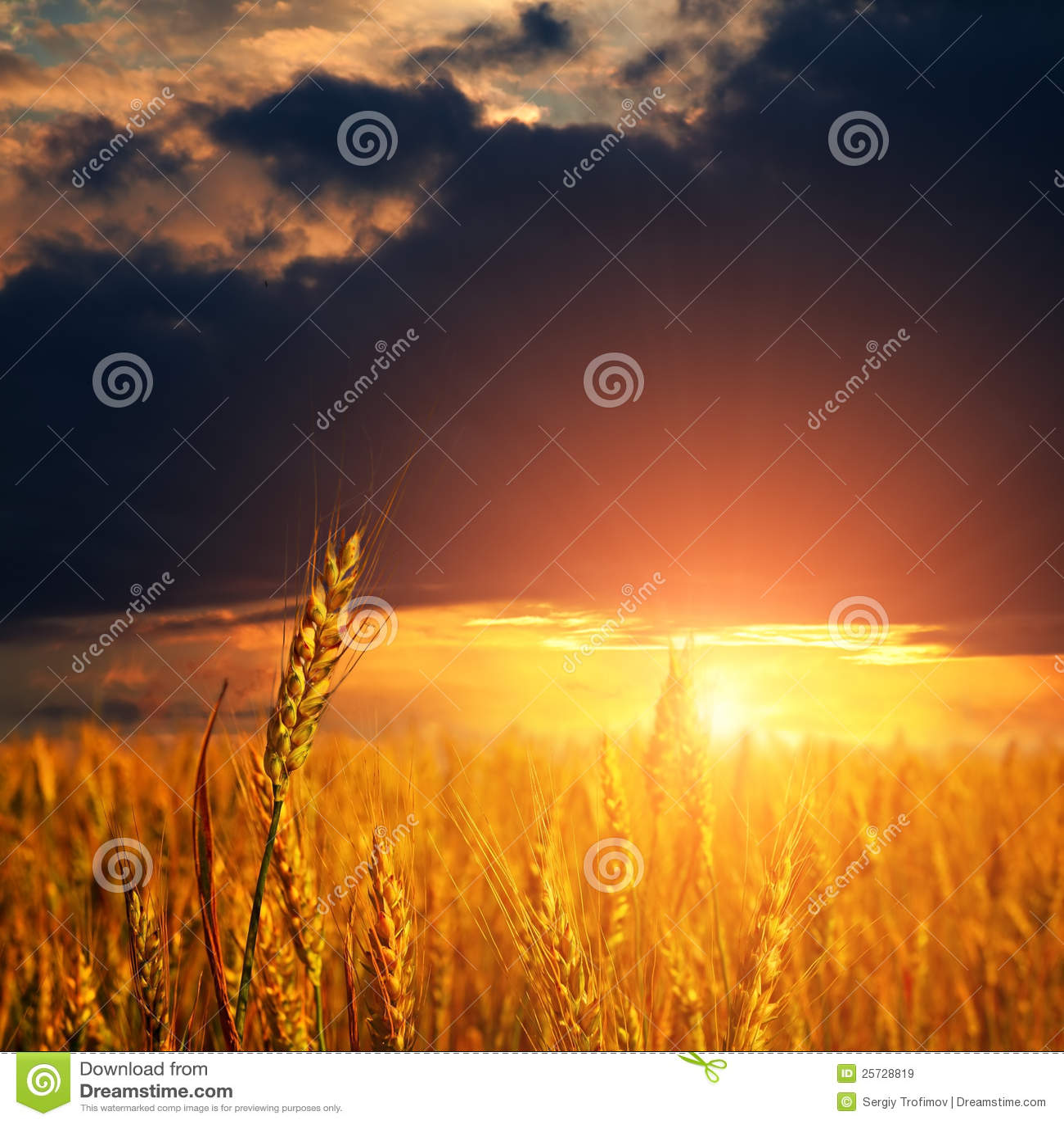 Wheat ears and light on sunset sky