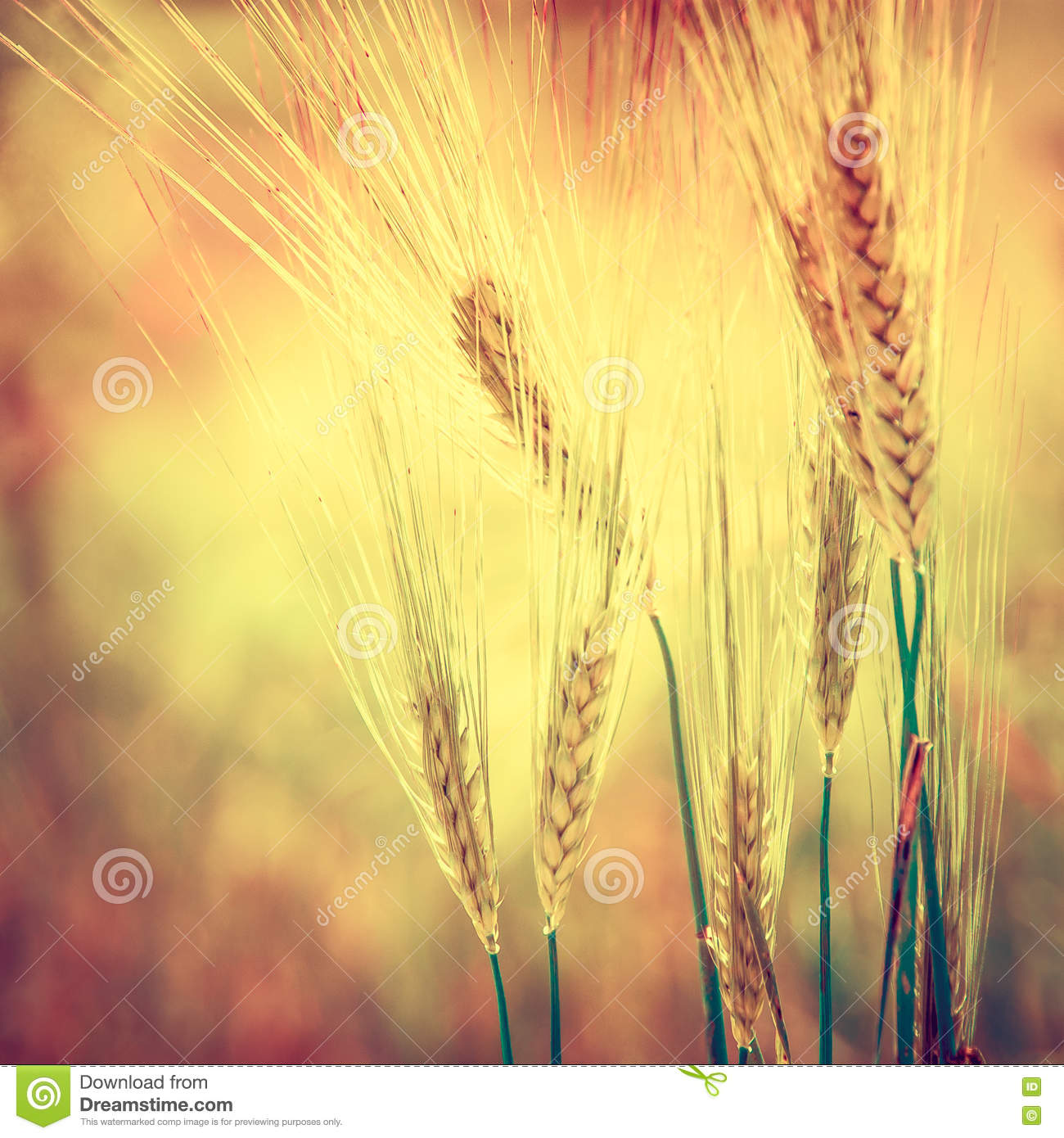 Cereal Field Stock Photo Image Of Food Golden Barley