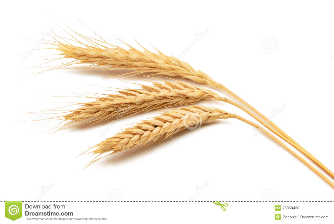 Wheat ears over white background