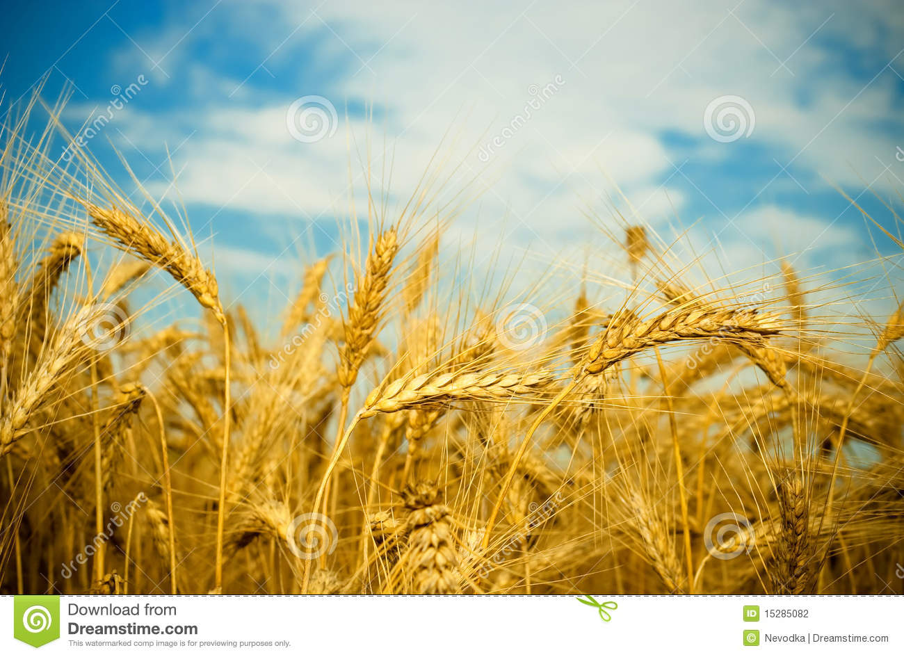Wheat Field Stock Photography - Image: 15285082