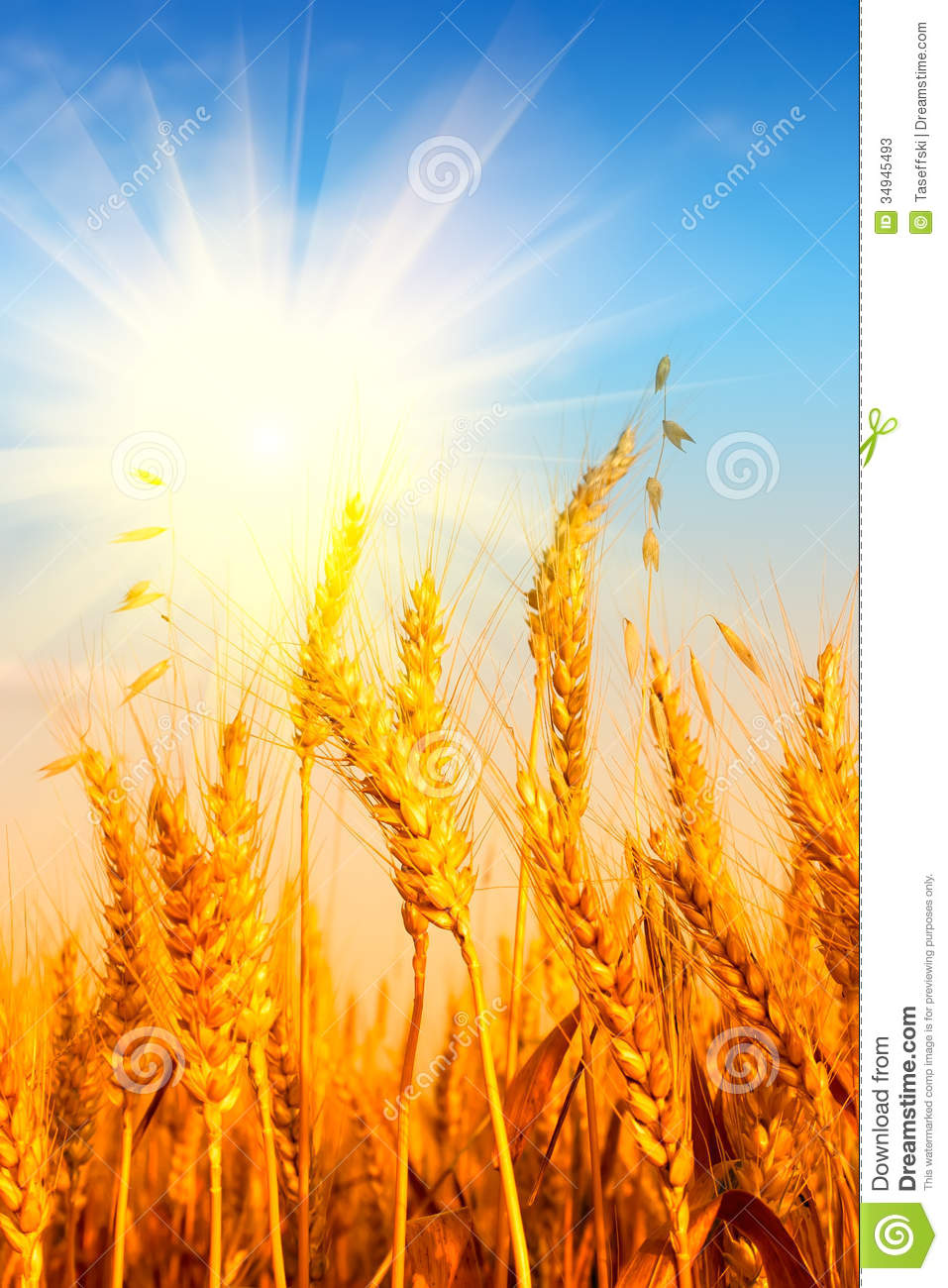 Wheat Field And Blue Sky With Sun Stock Image - Image of