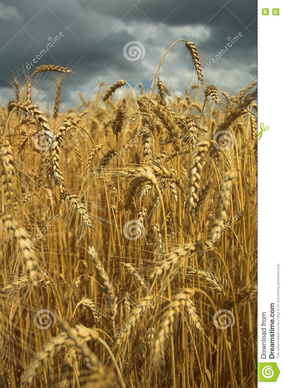 Free Stock Photo Wheat Field And Dark Sky Picture Image 5857175