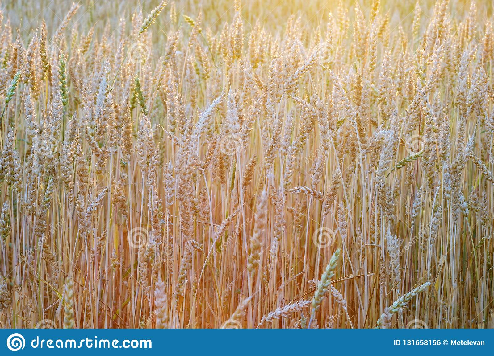 Wheat field in different colors of the sunset sun in the summer before harvest