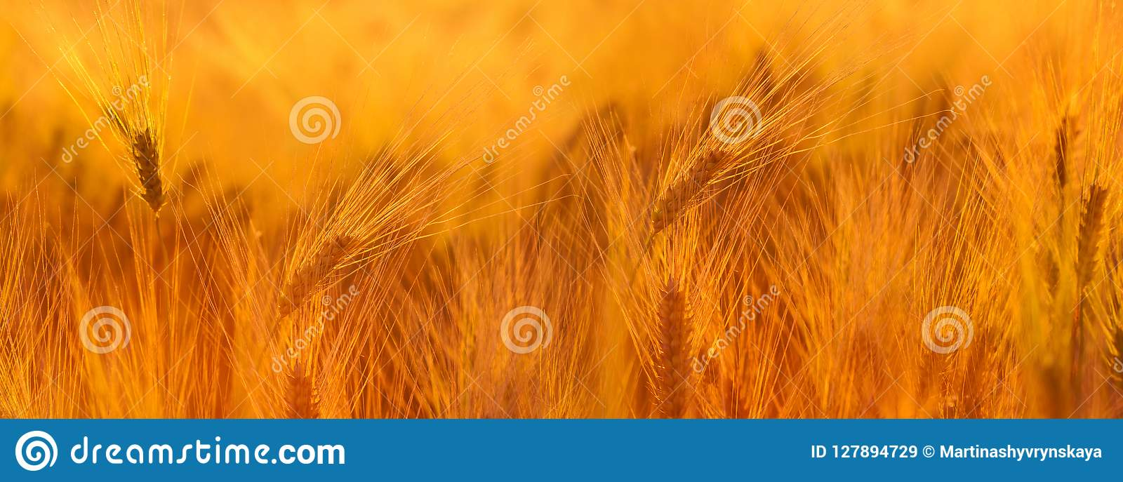Wheat field. Ears of golden wheat close up. Beautiful Nature Sun