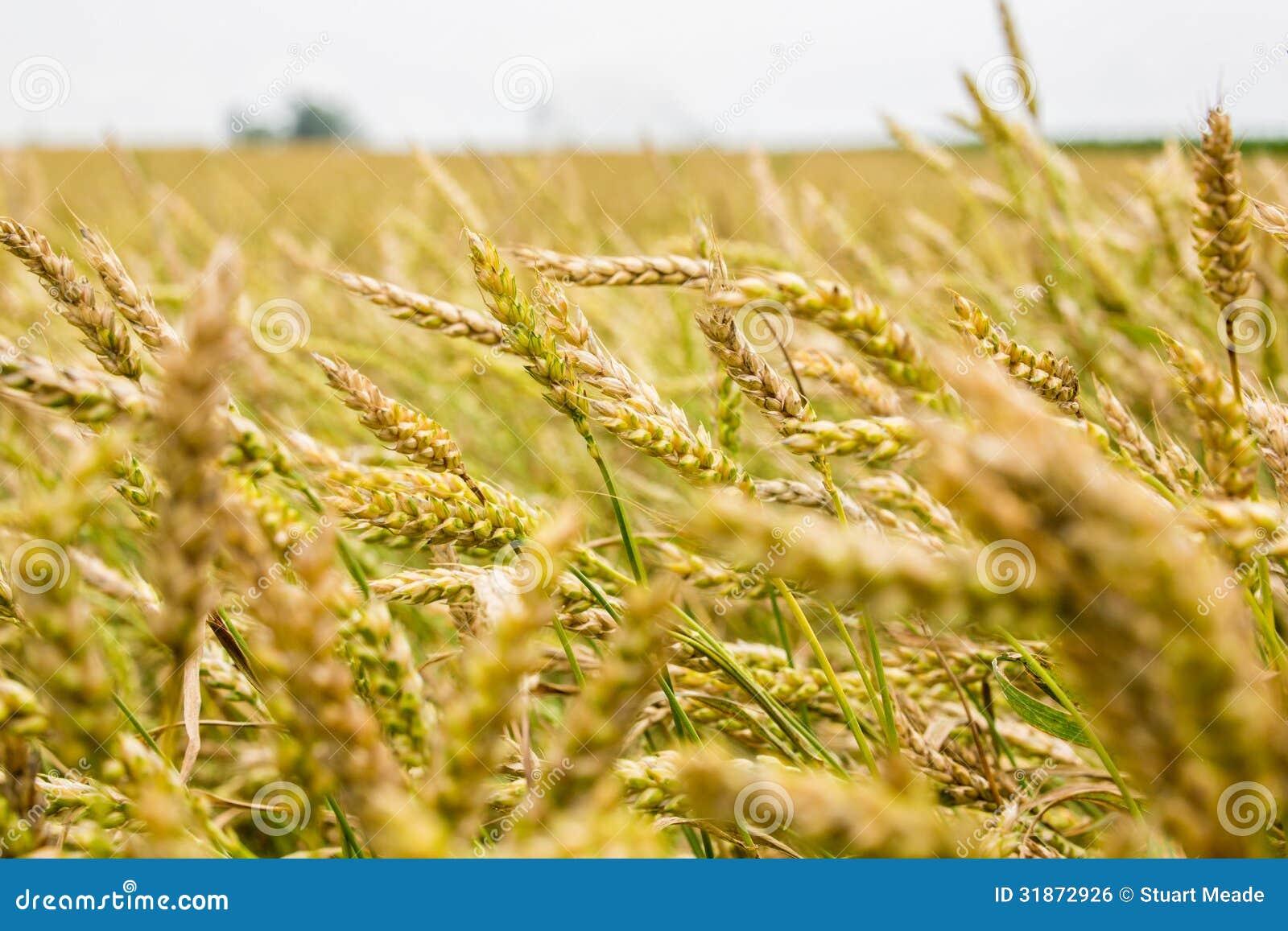 Wheat Farm Field Royalty Free Stock Image Image 31872926