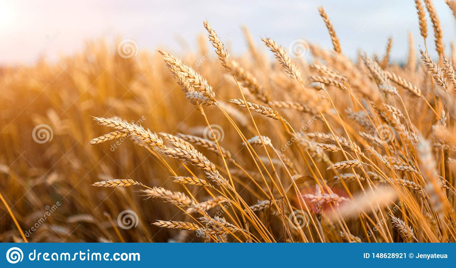 Wheat Field Golden Wheat Ears Close Up With The Sun Stock Image