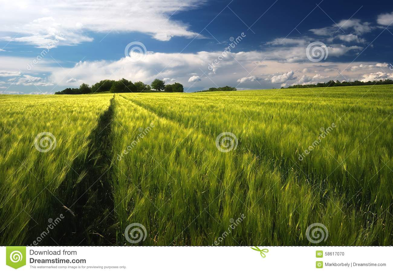 Wheat field landscape and cloudy sky