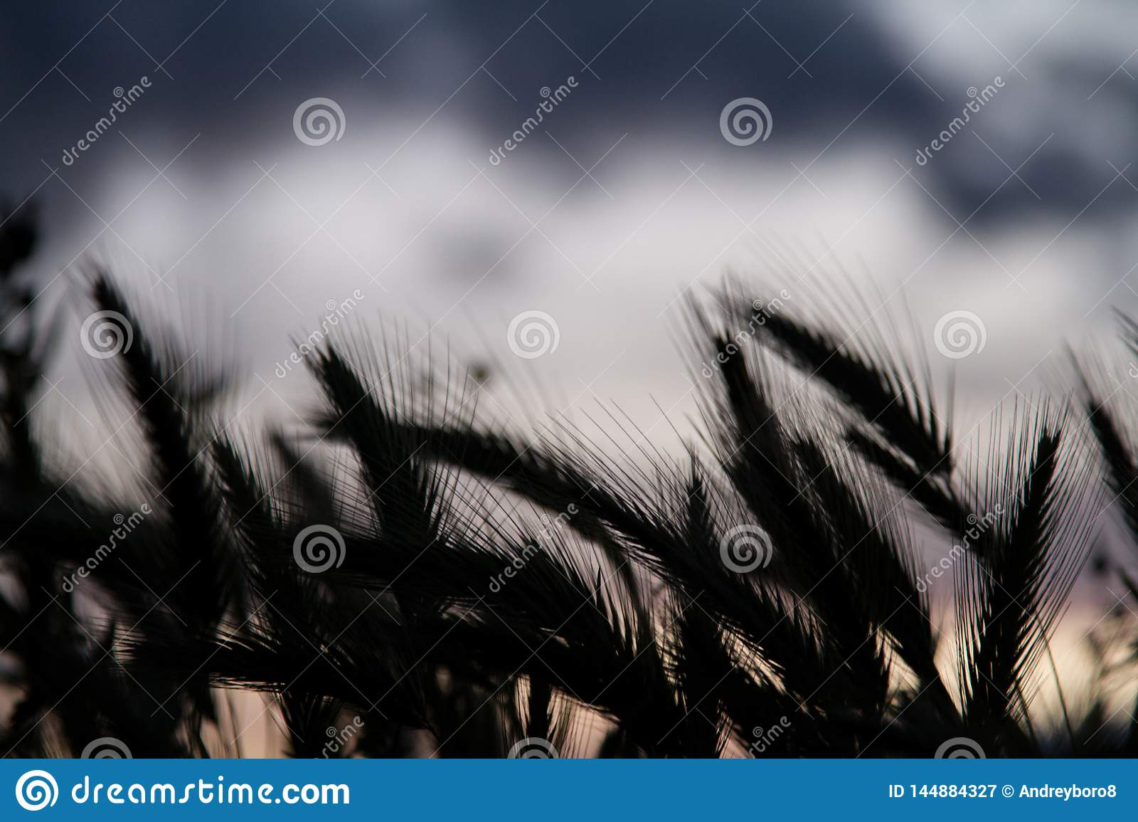 Wheat field silhouette
