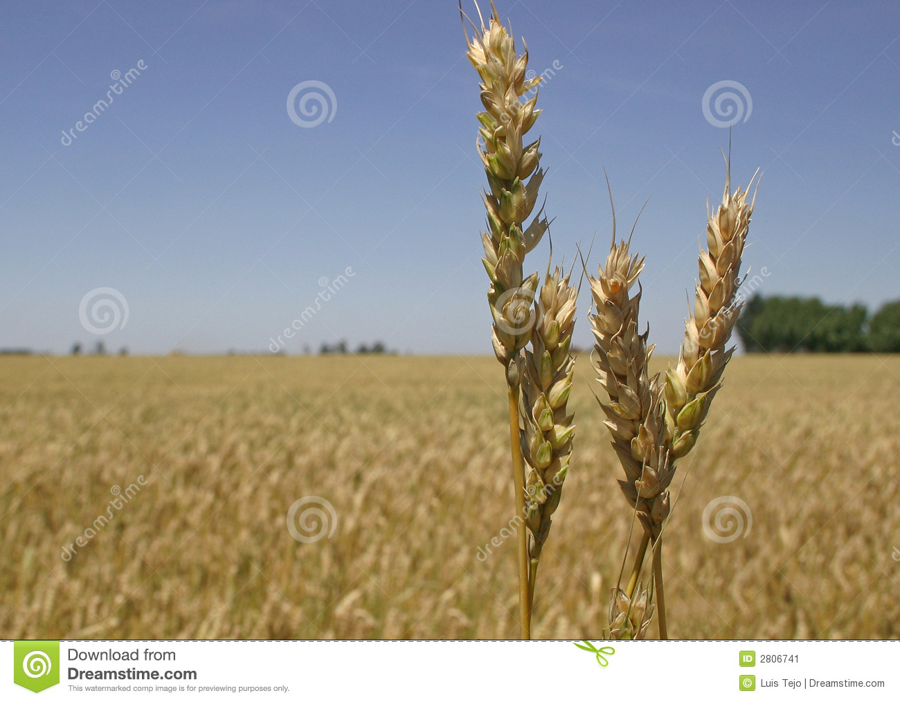 Wheat field and spikes