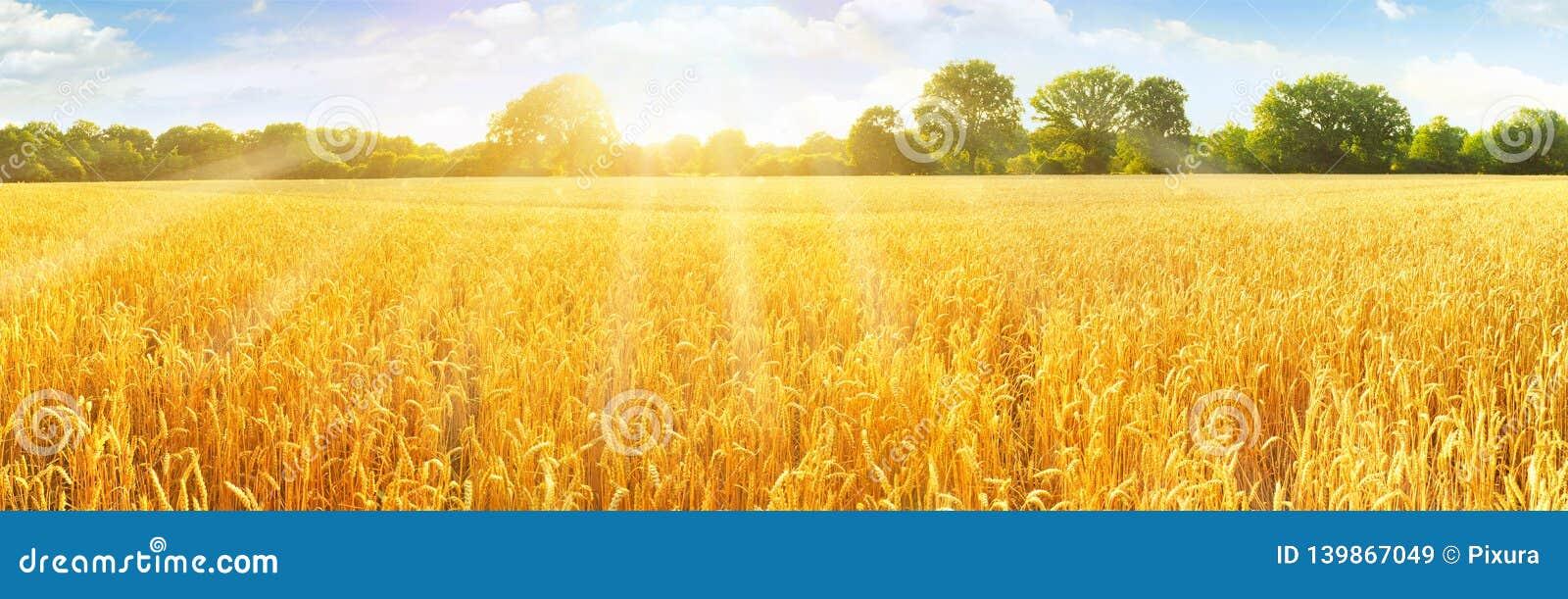 Wheat Field in Summertime