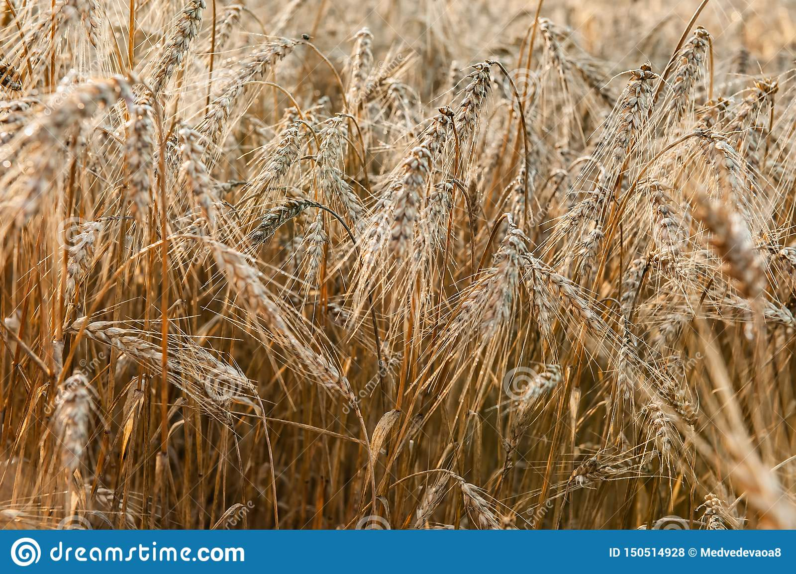 Wheat field on a Sunny day. Golden ears of wheat. Whole grains close-up. The idea of a rich harvest. Label design