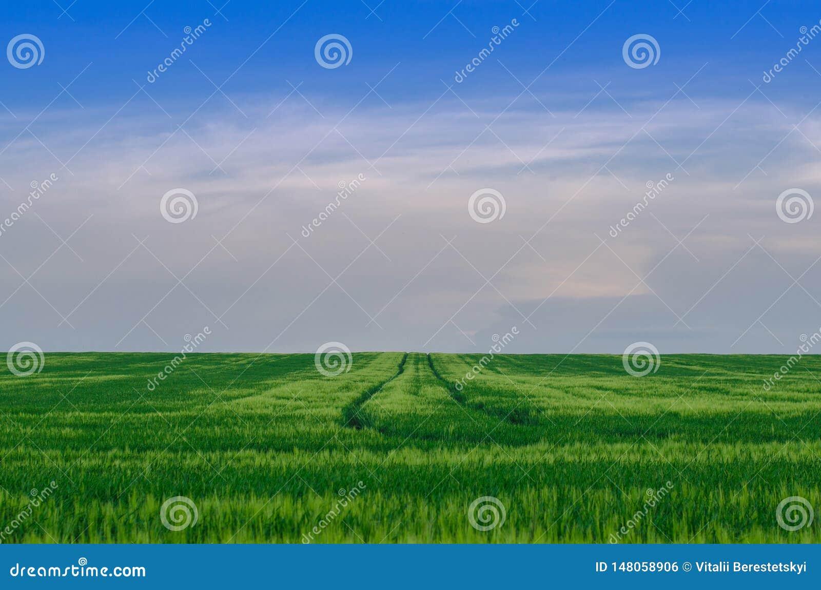 Wheat field, Ukraine