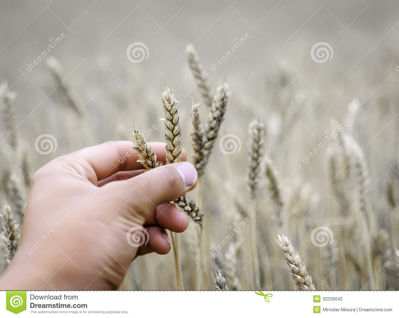 helping hand to dry wheat during drought
