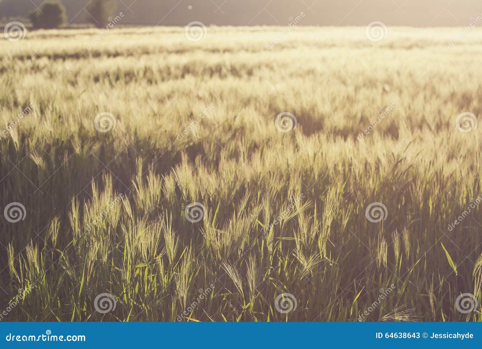 Wheat fields in summer