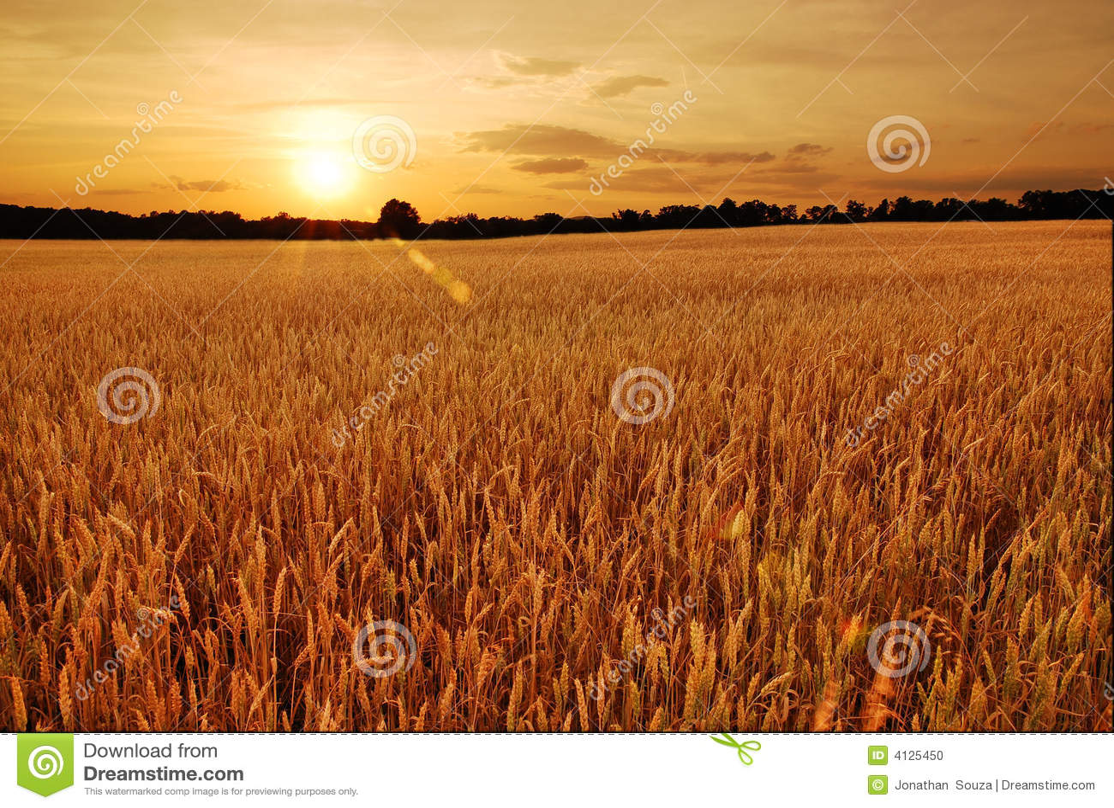 Wheat fields at sunset