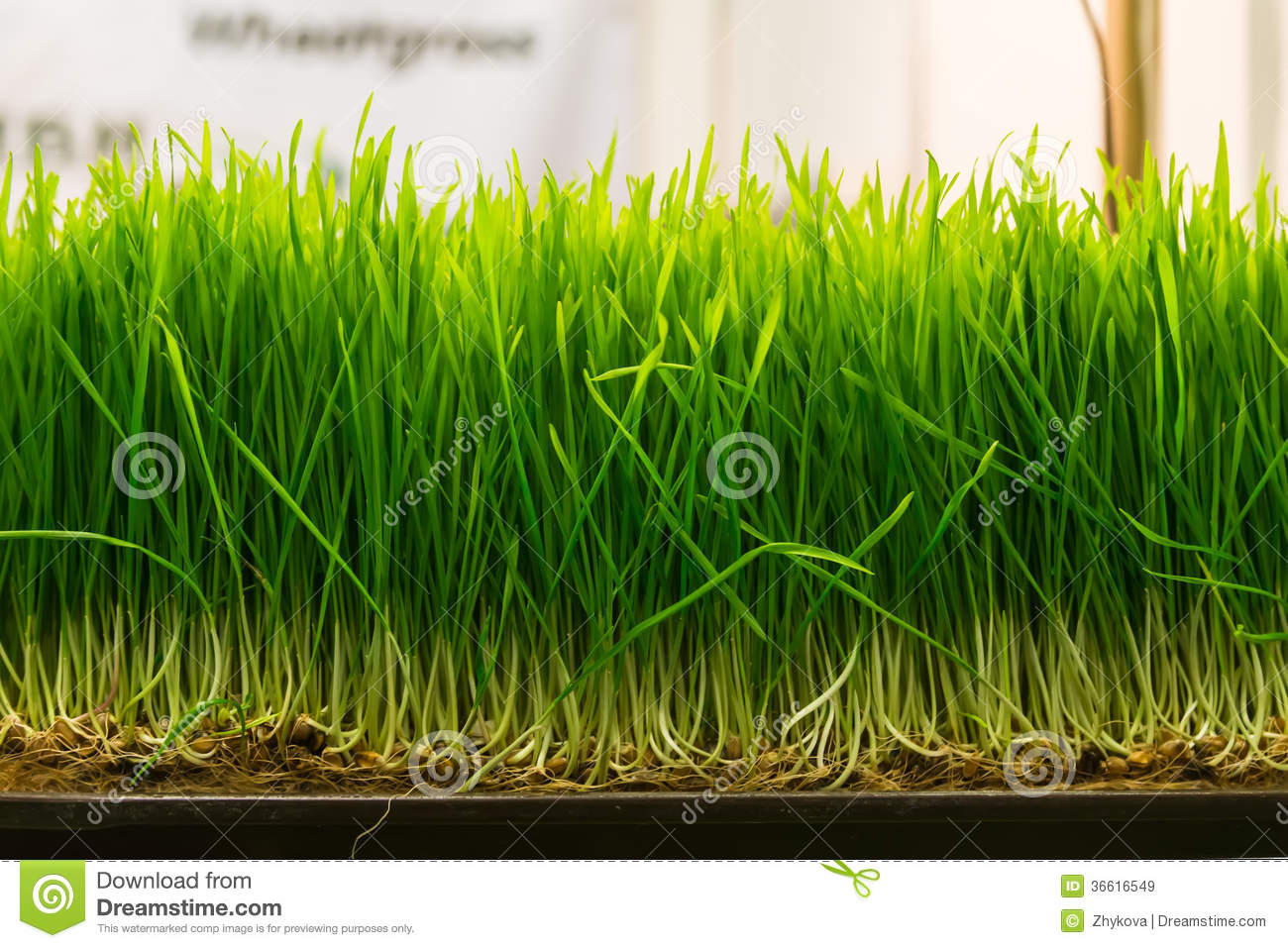 Wheat Germ Royalty Free Stock Images - Image: 36616549