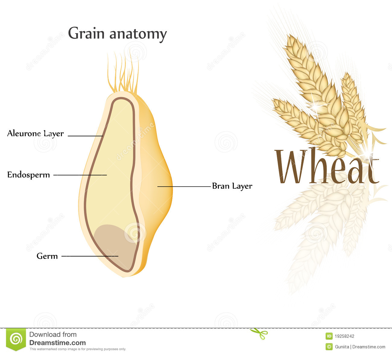 Wheat and grain stock vector. Illustration of diet, aleurone - 19258242