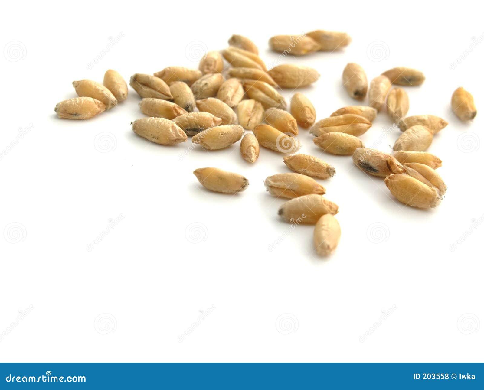 Wheat - grain
